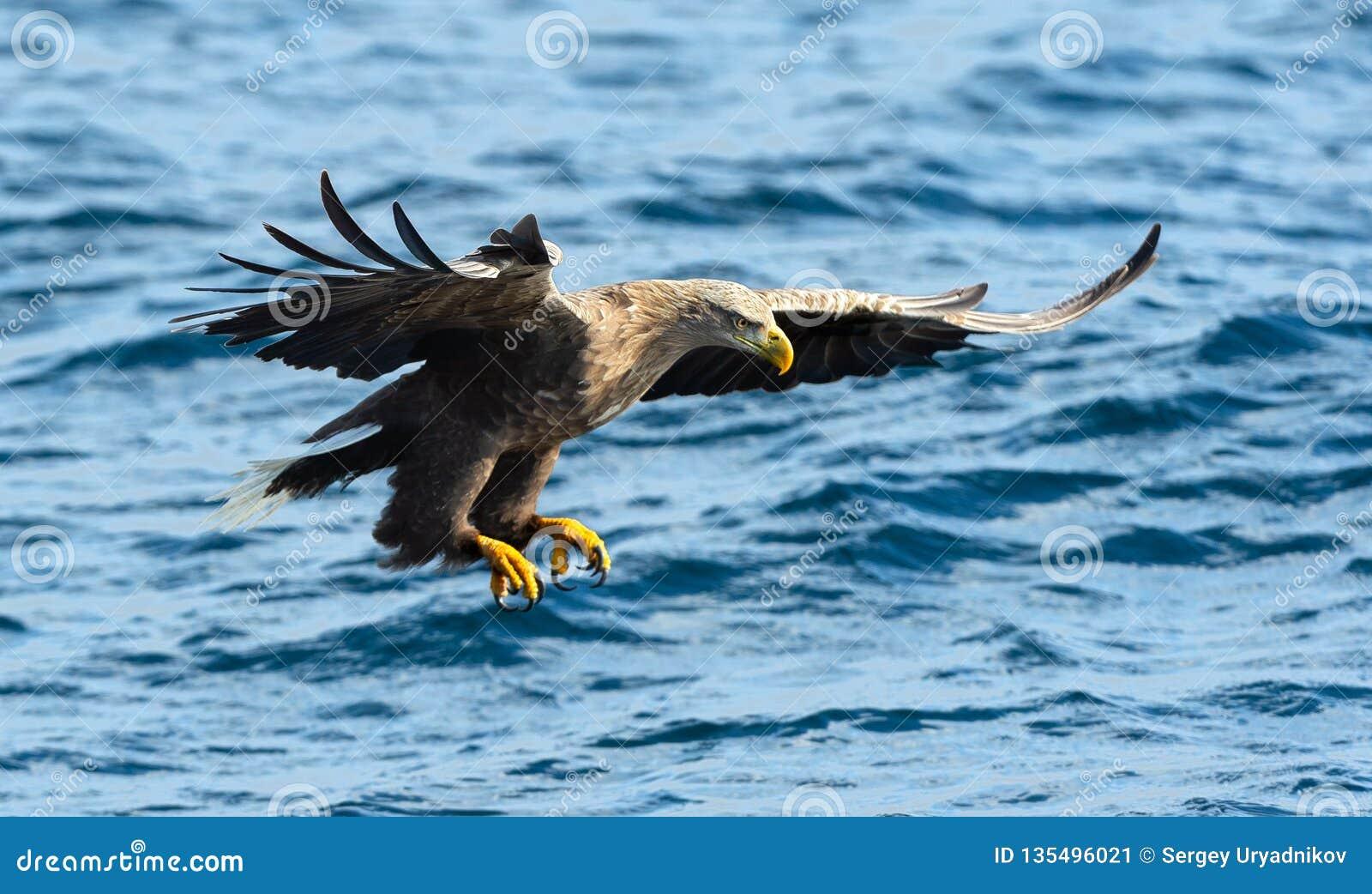Aquila dalla coda bianca adulta nel moto, pesca Fondo blu dell oceano Nome scientifico: Albicilla del Haliaeetus, anche conosciut