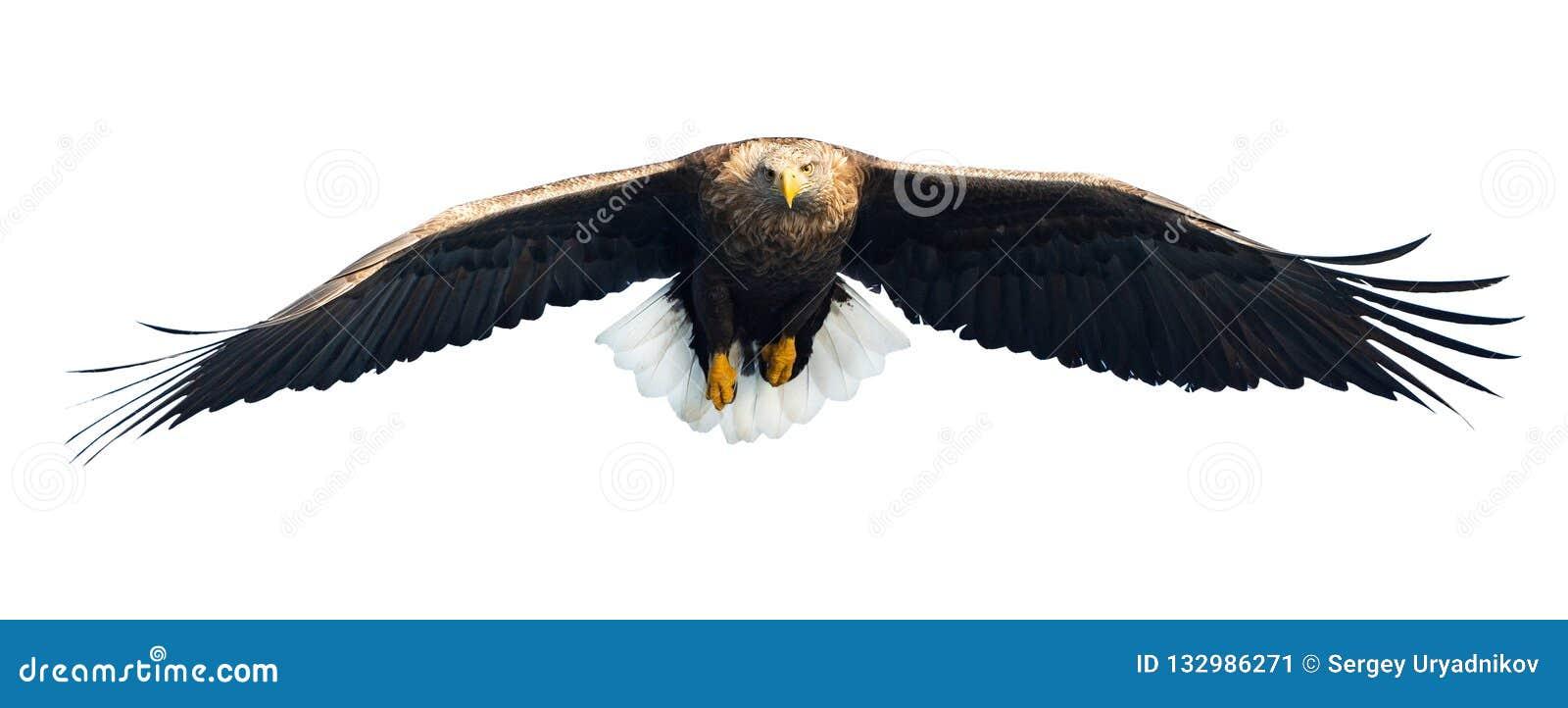 Aquila dalla coda bianca adulta in volo Front View Isolato su priorità bassa bianca
