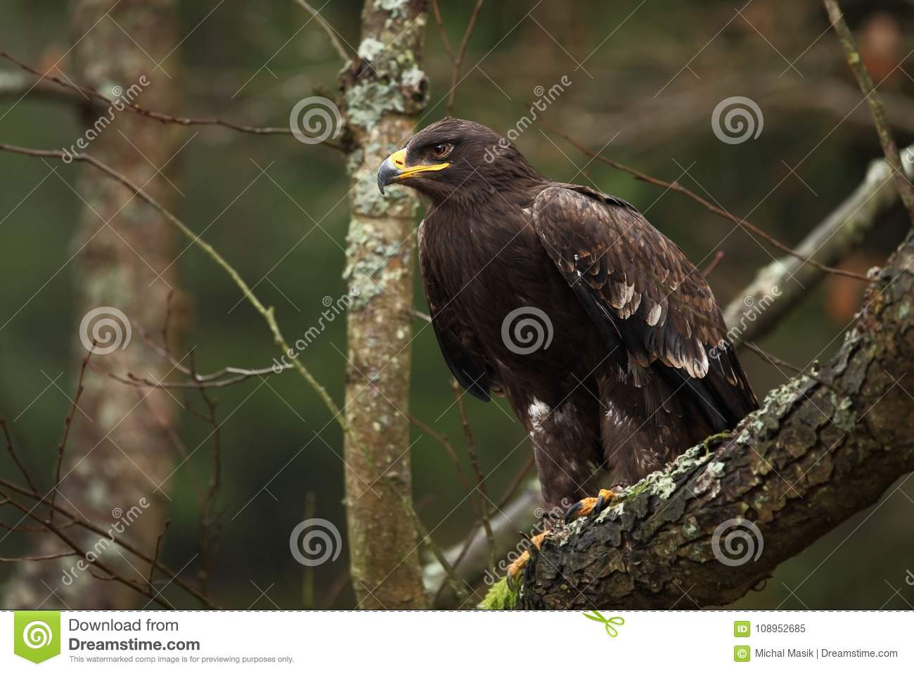 Aquila nipalensis. It is expanded in Russia, Africa, Central Asia, Arabia, India, Mongolia and China.
