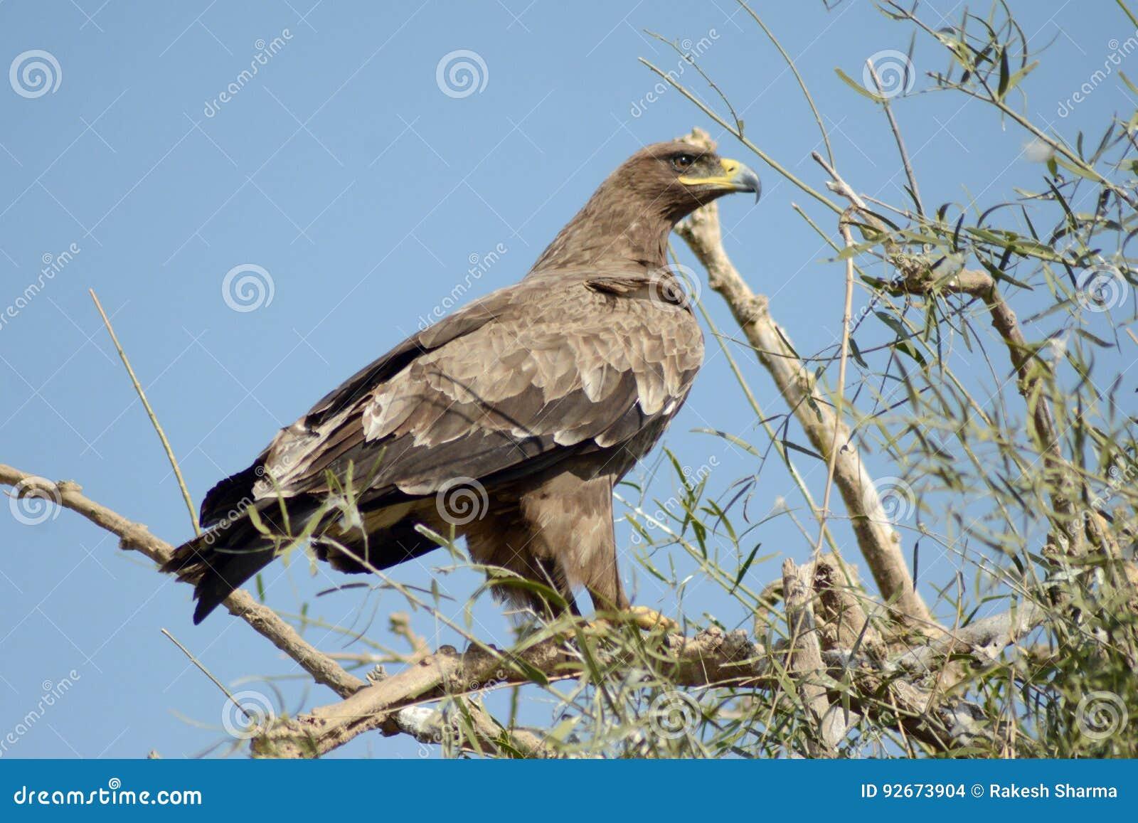 Aquila rapace VIGILANTE a PERIFERIA BIKANER di JORBEER