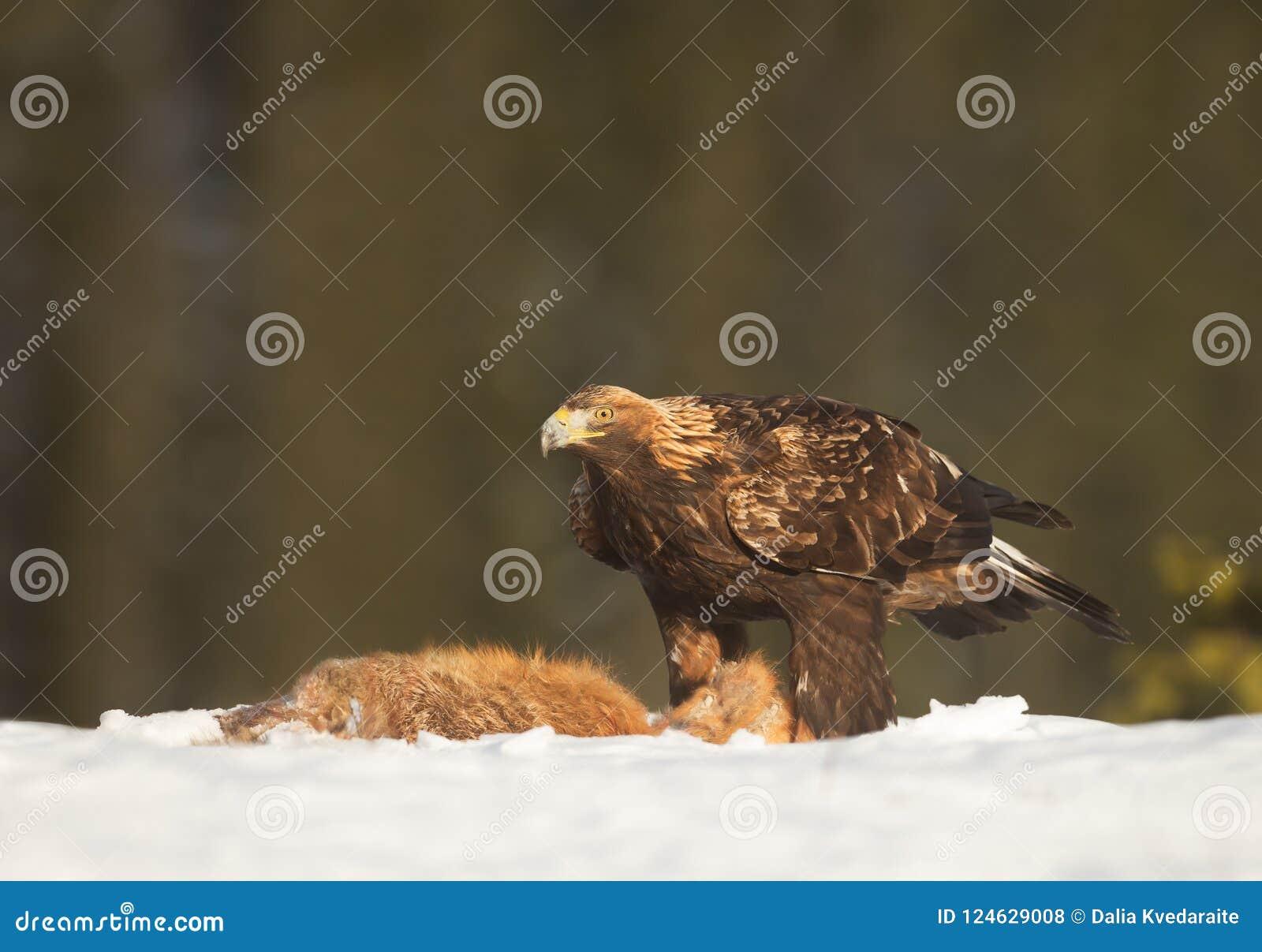 Aquila reale che si alimenta una volpe rossa morta