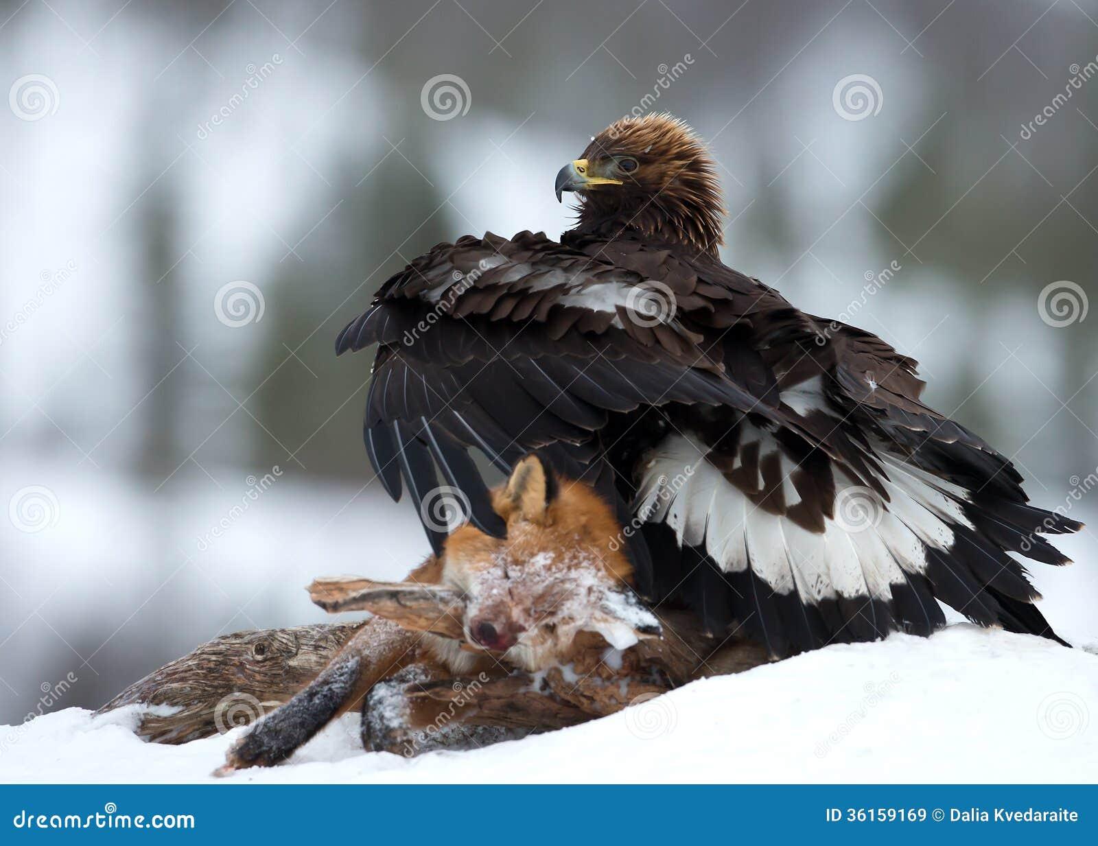 Aquila reale (chrysaetos di L Aquila)