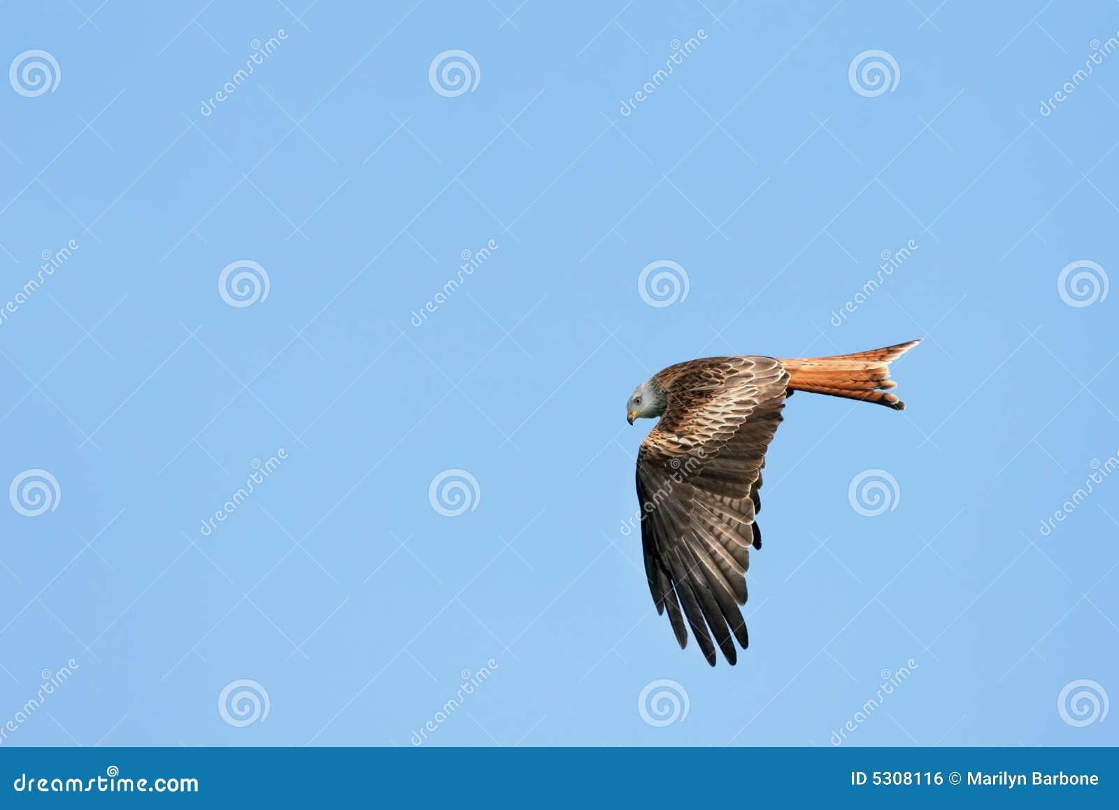 Download Aquila Rossa Del Cervo Volante Fotografia Stock - Immagine di preda, rosso: 5308116