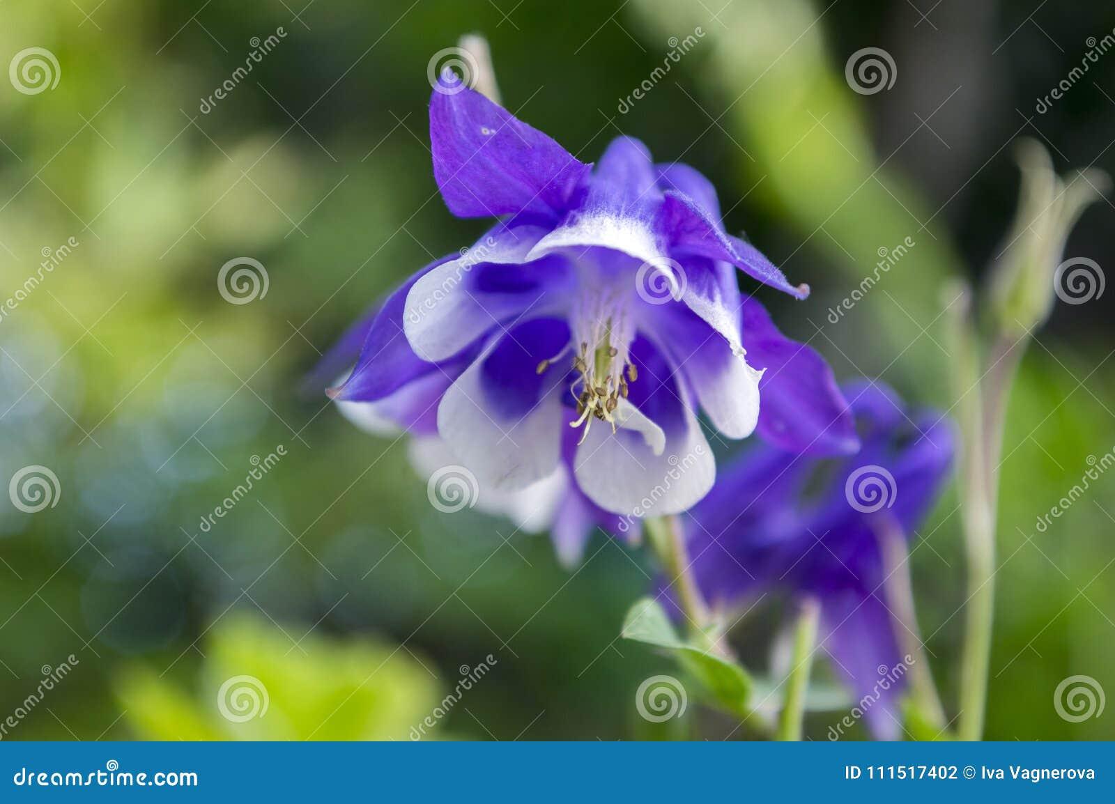Aquilegia Caerulea In Bloom Single Flower Blue And White Stock