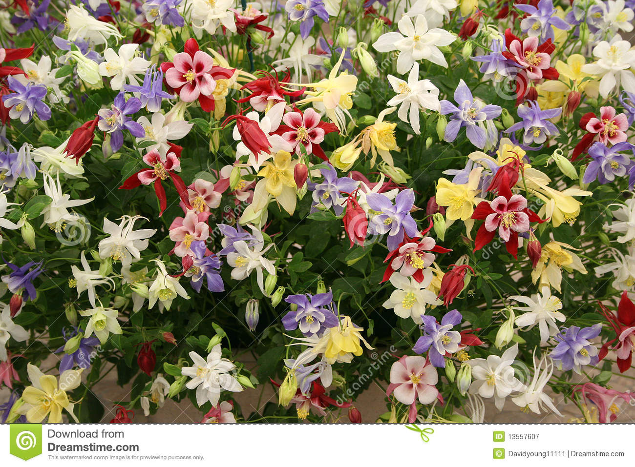 Aquilegia display at chelsea flower show royalty free stock photography image 13557607 - Royal flower show ...