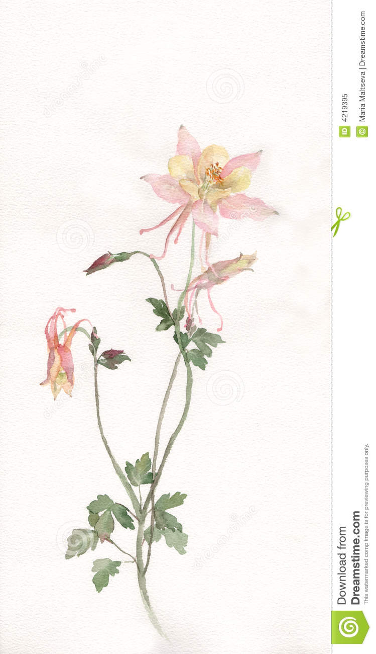 Aquilegia Flower Watercolor Painting Royalty Free Stock