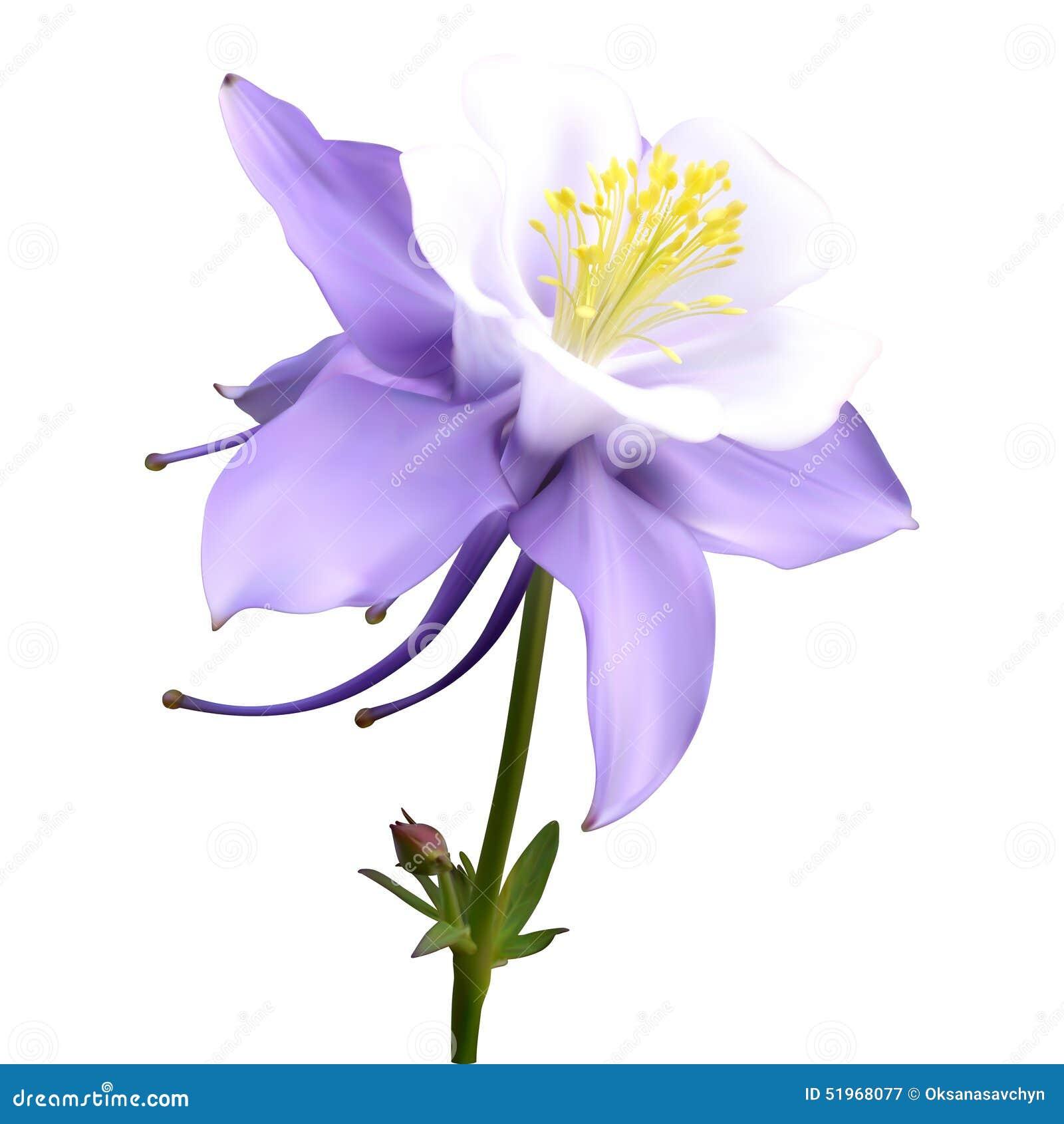 Aquilegia purple white stock illustration image 51968077 aquilegia bud flower purple dhlflorist Gallery