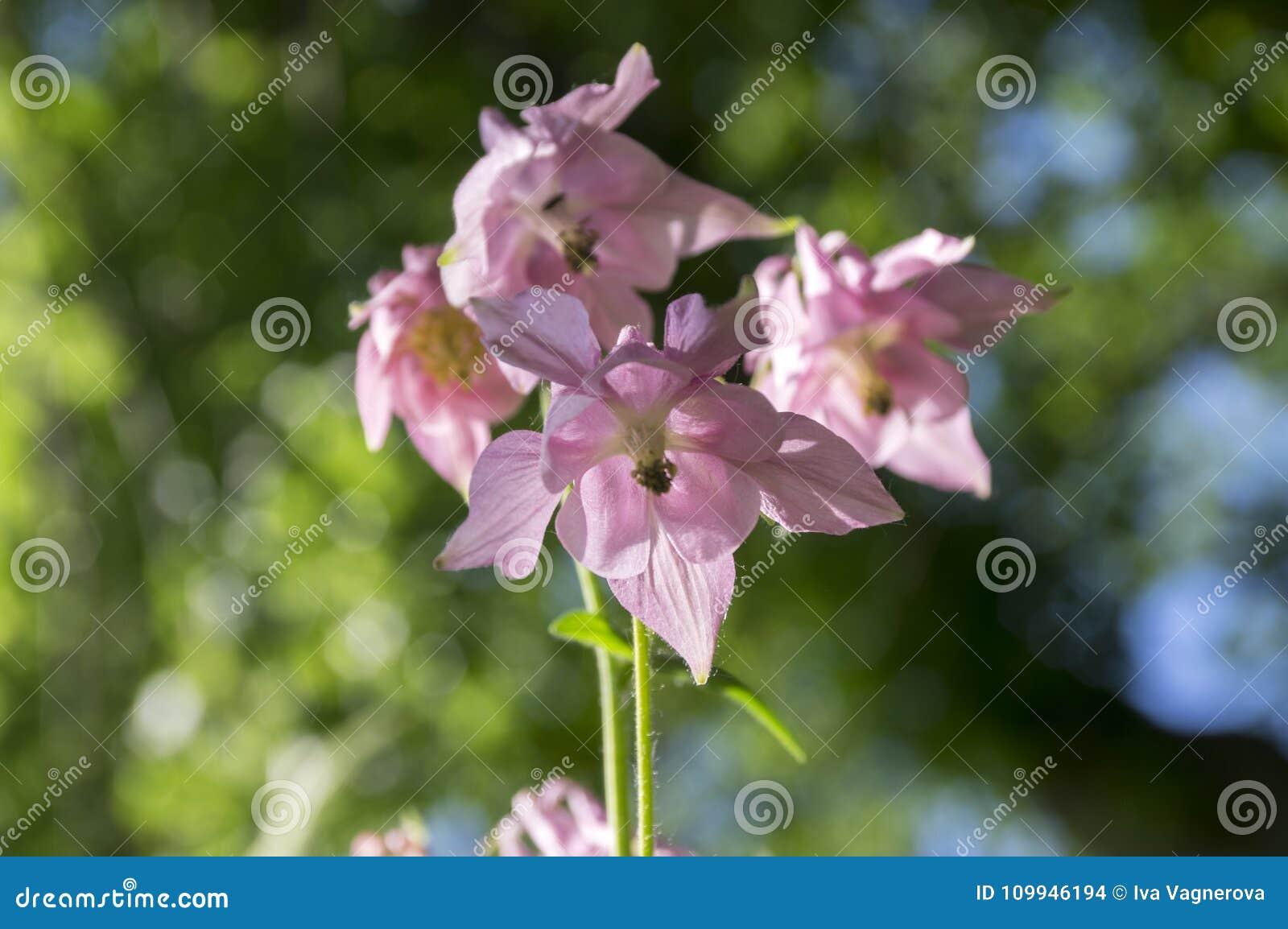 Aquilegia Vulgaris Common Columbine Pink Flowers In Bloom Stock