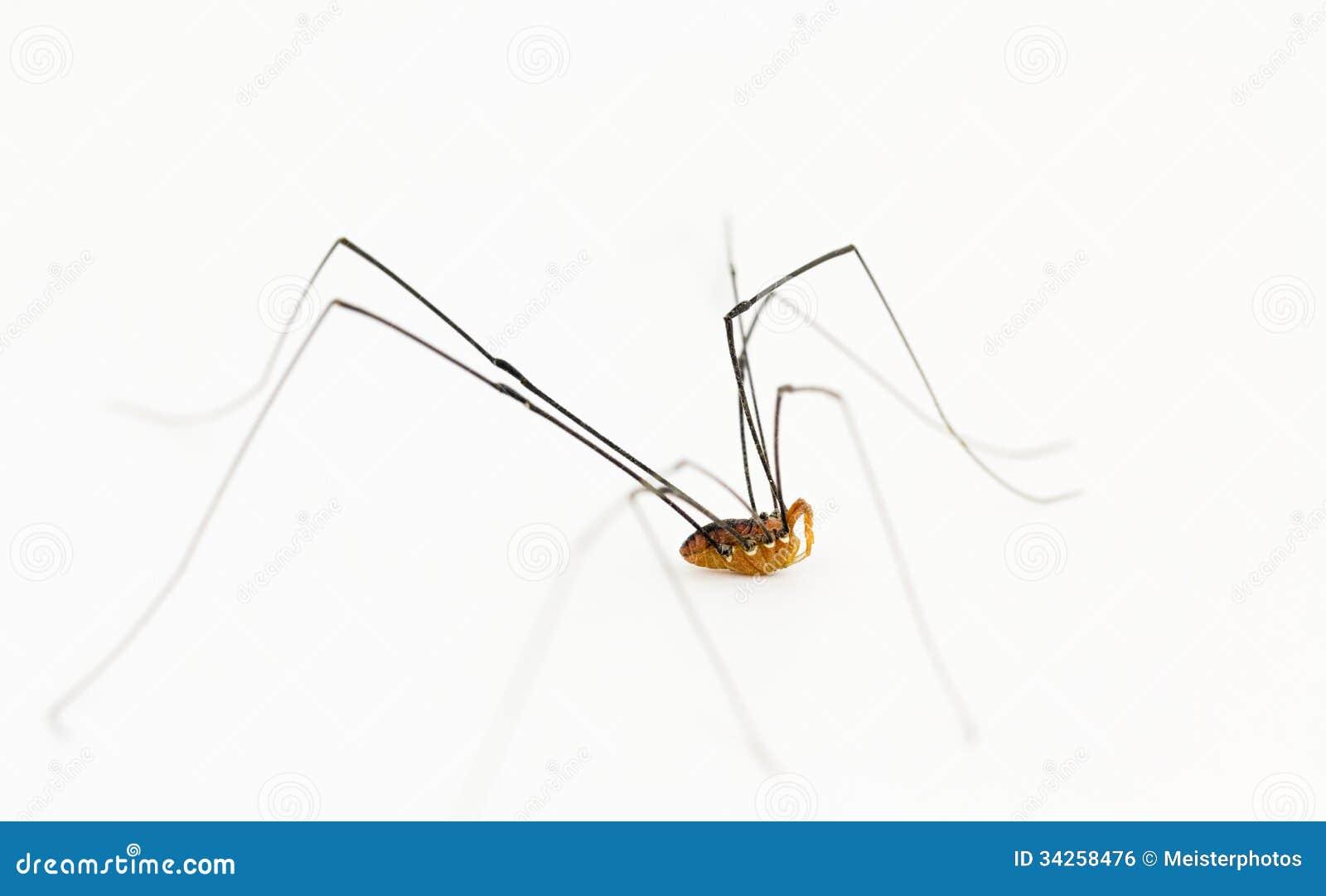 Arácnido del segador del Opiliones