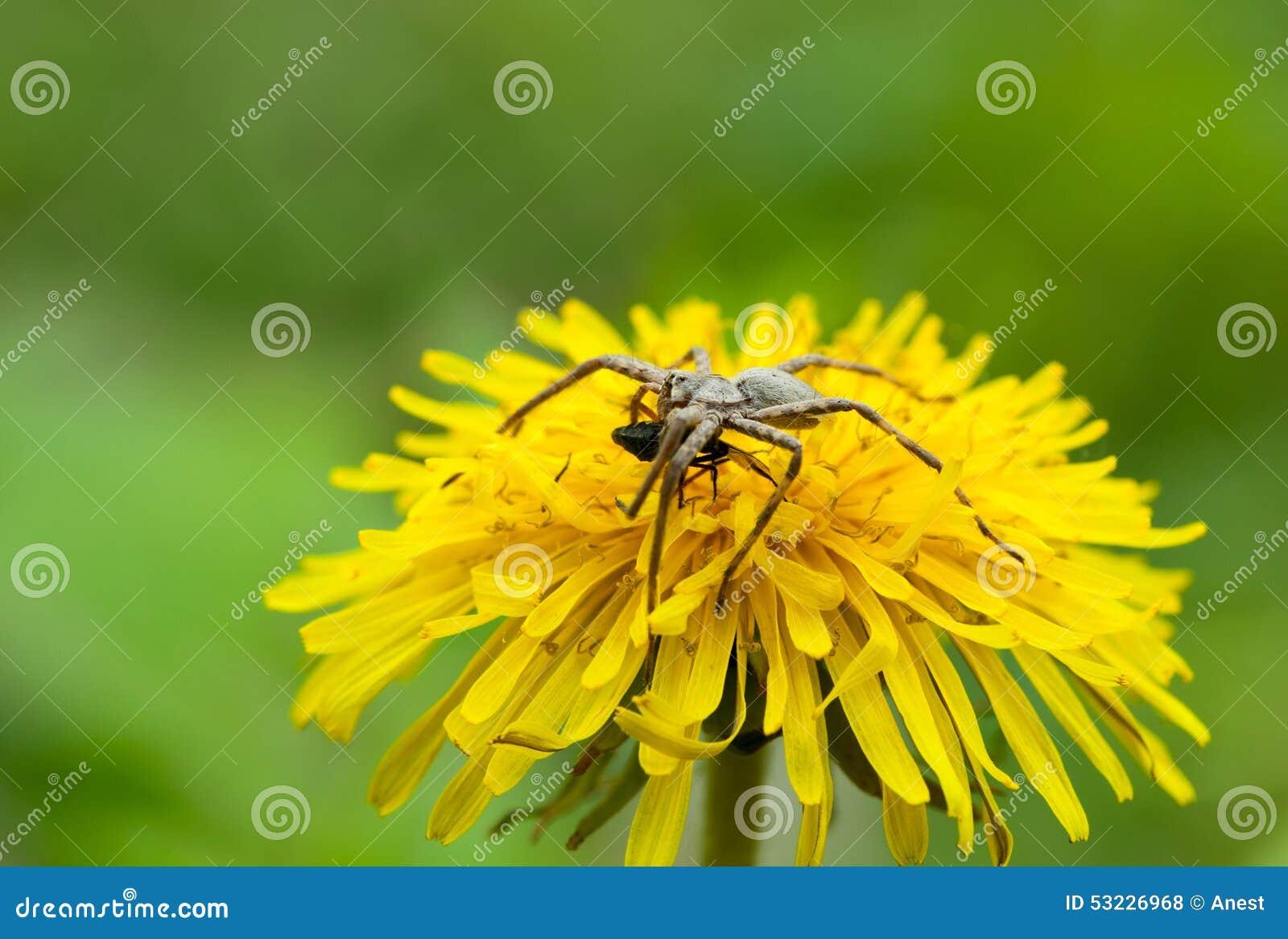 Araña de alimentación