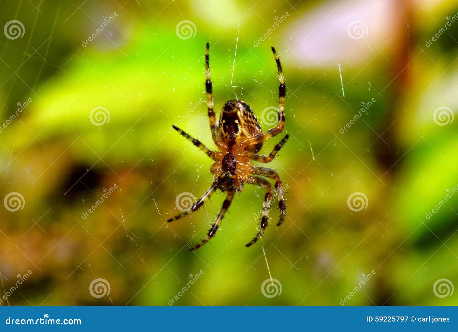 Araña de jardín en Web