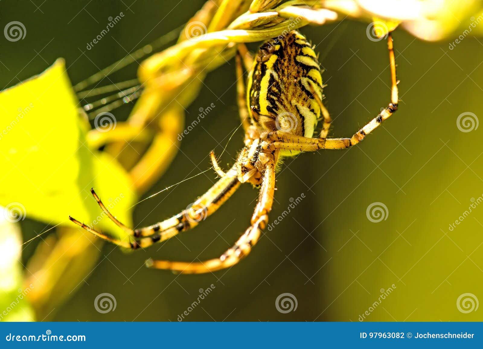 Araña de la avispa en su web