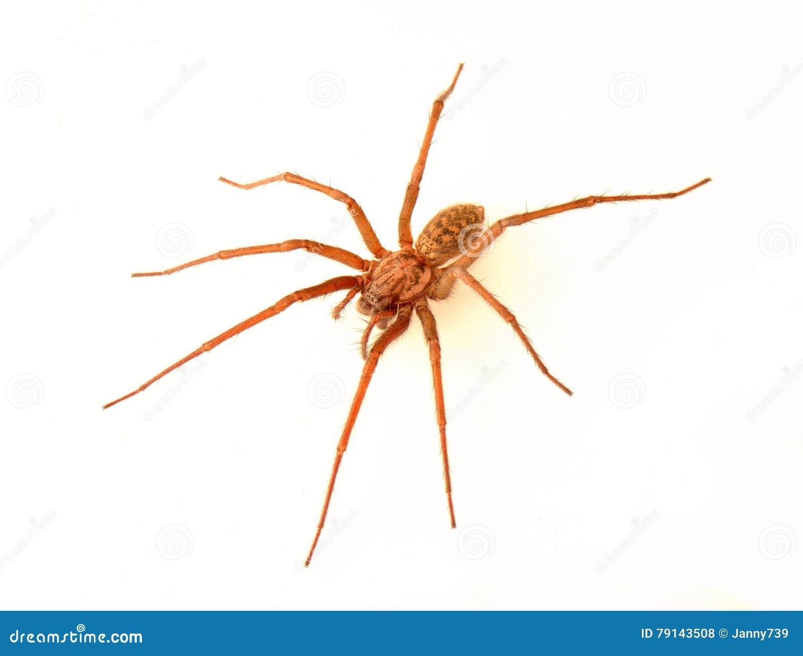 Araña de la casa