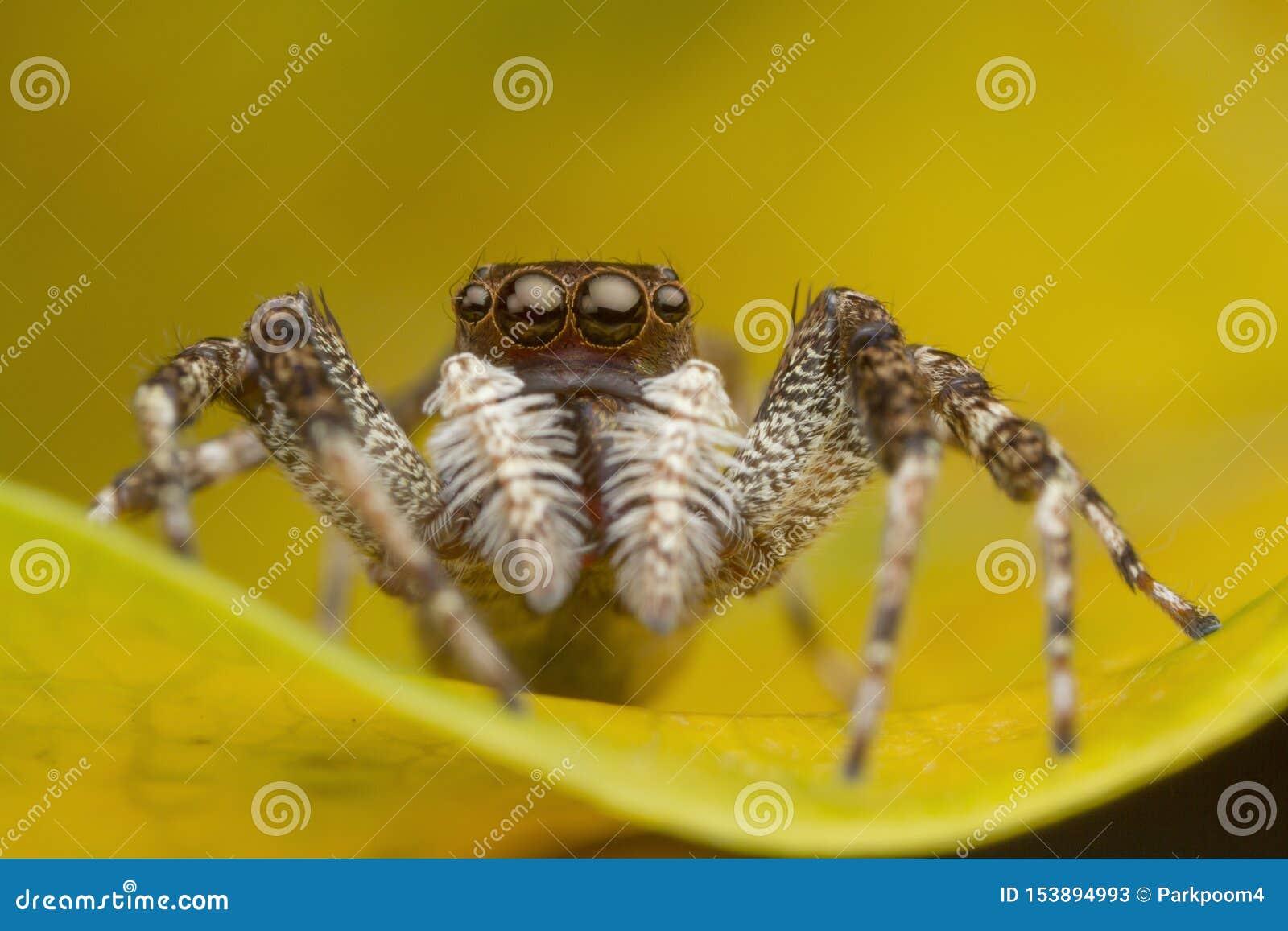 Araña de salto en la hoja amarilla
