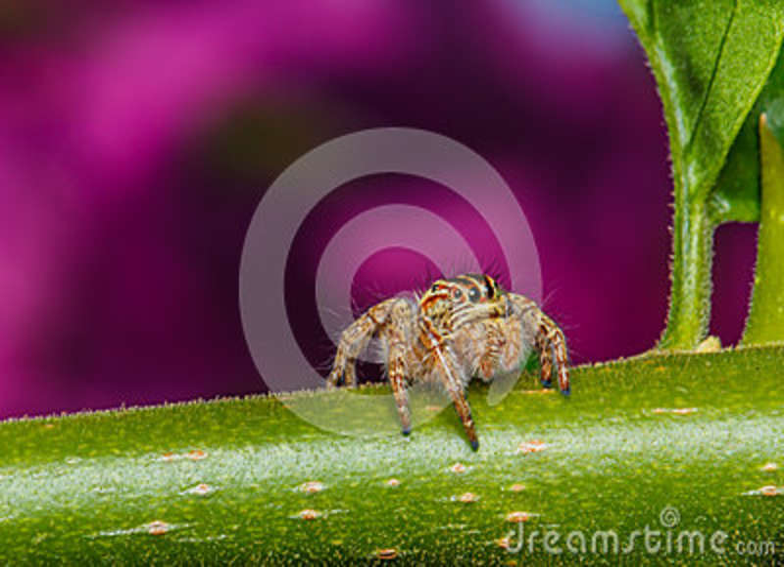 Araña de salto en la hoja verde