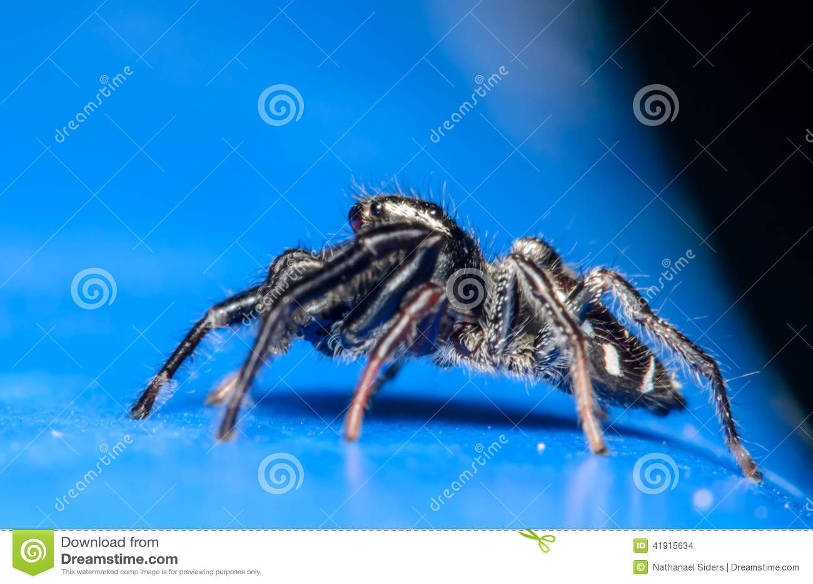 Araña de salto negra