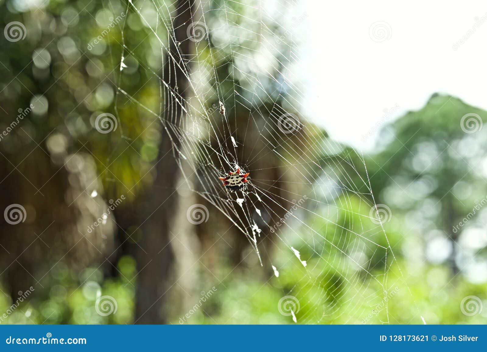 Araña del cangrejo en un web