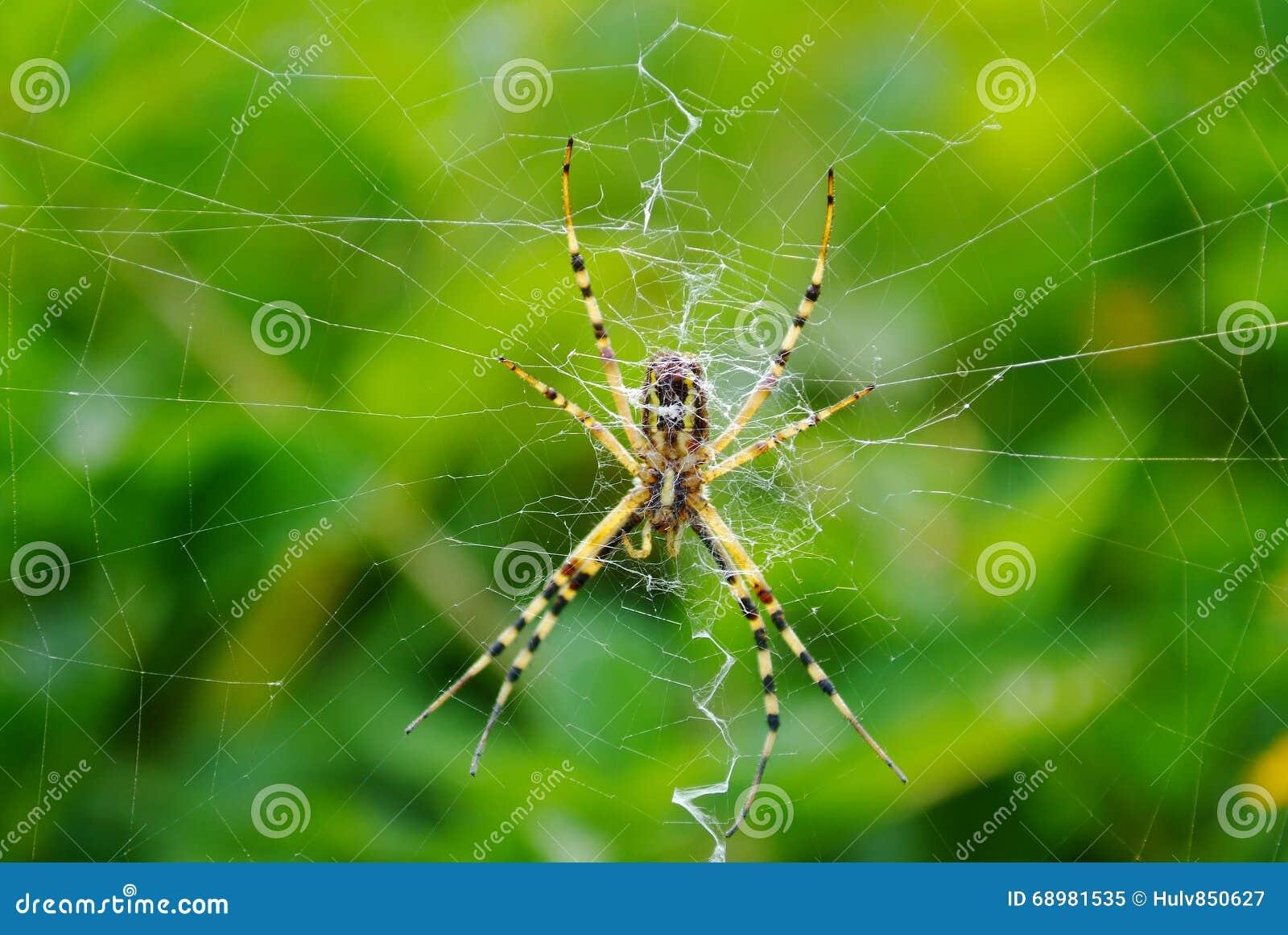 Araña que espera en su web
