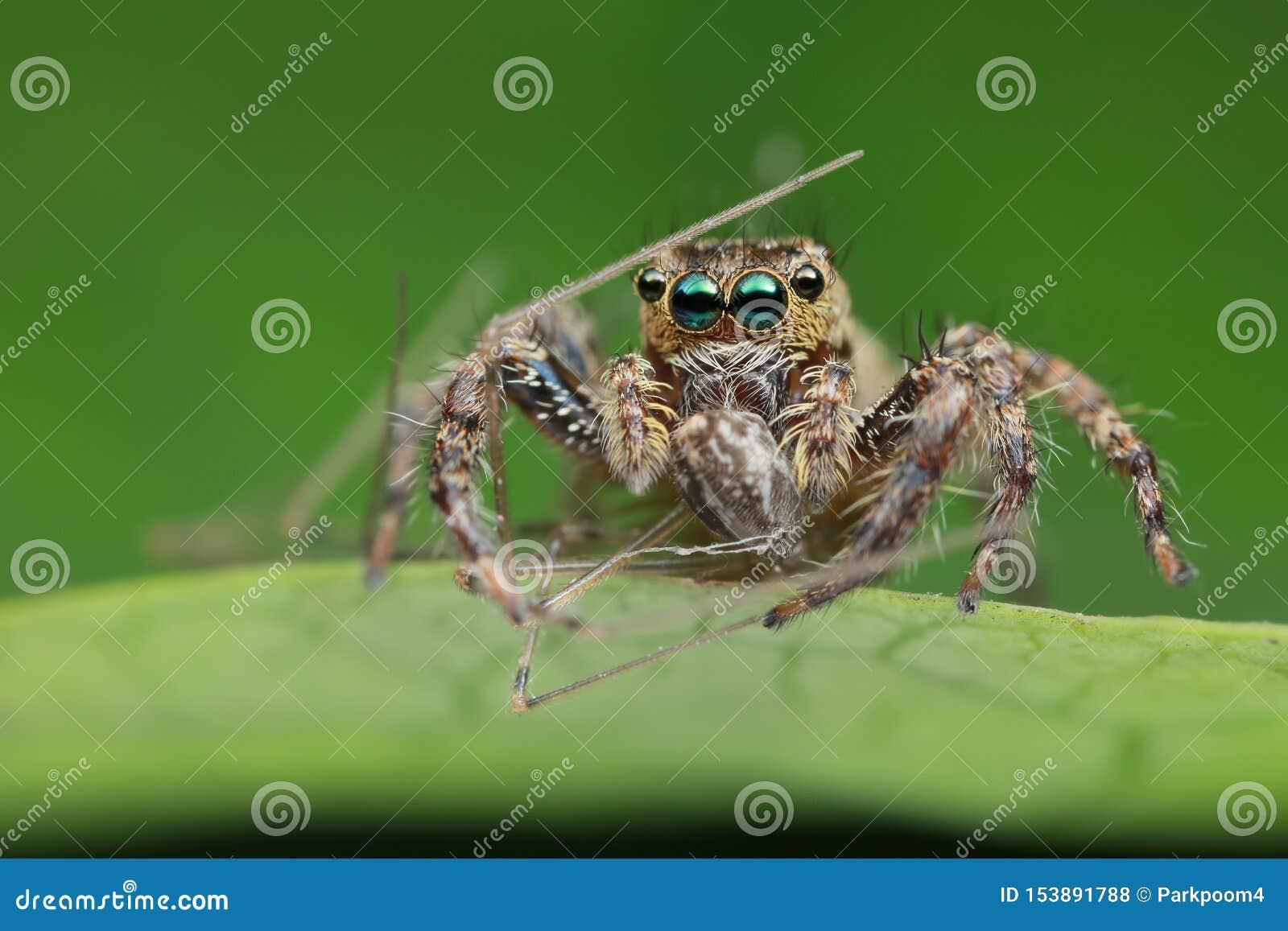 Araña y presa de salto en la hoja verde en naturaleza