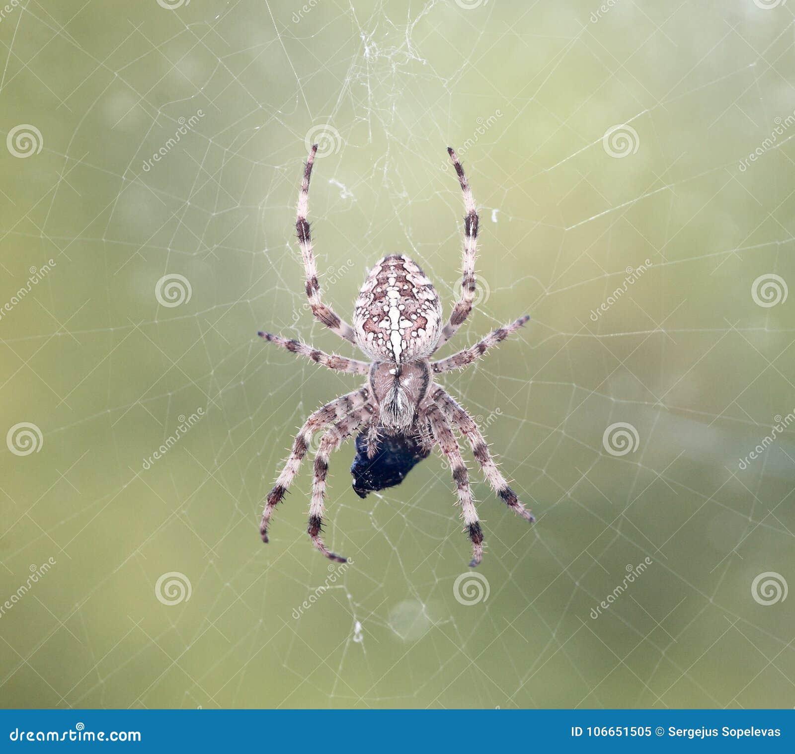 Araña y víctima