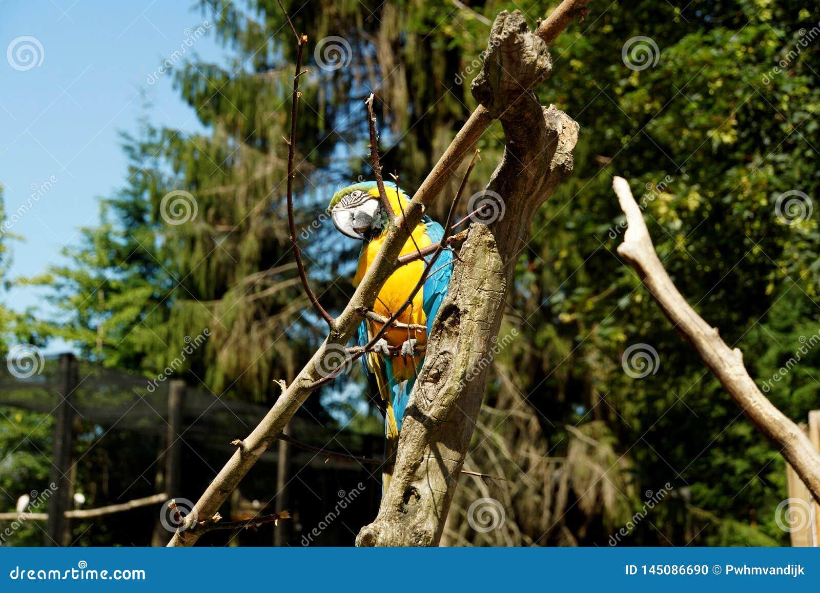 Ara alata blu che si siede nell albero