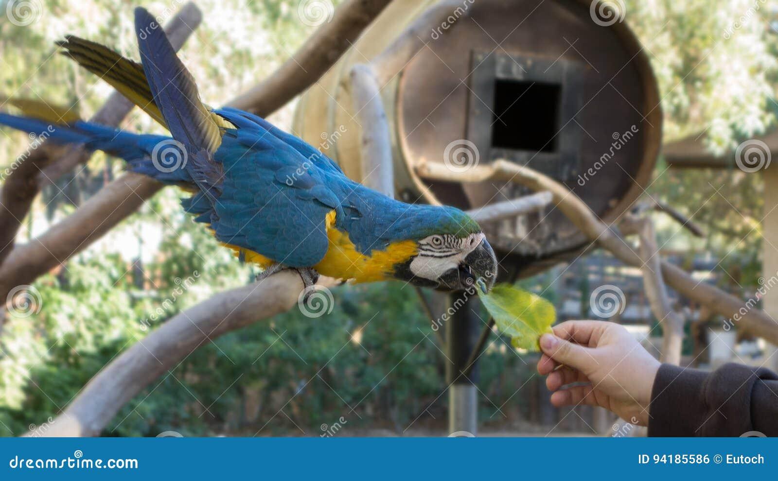Ara ararauna或青和黄色金刚鹦鹉