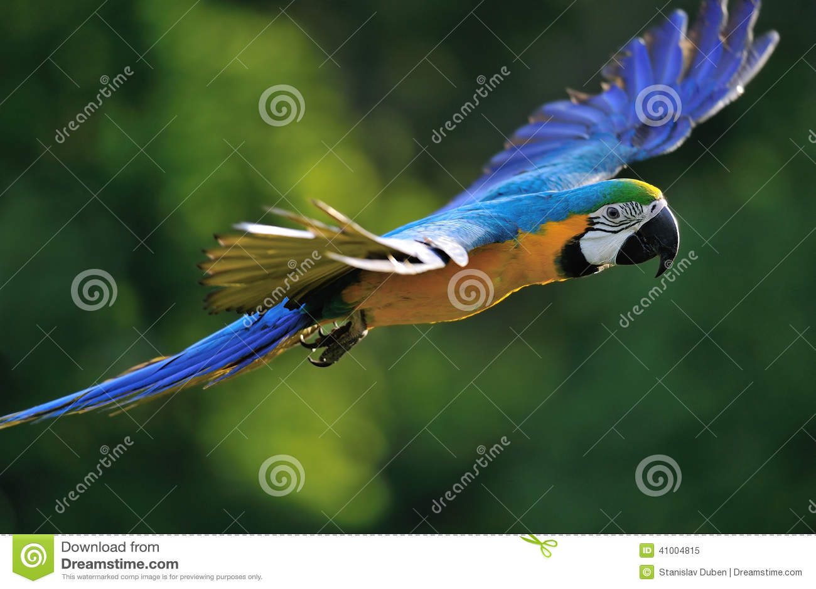 Ara bleu-et-jaune volant - ararauna d arums