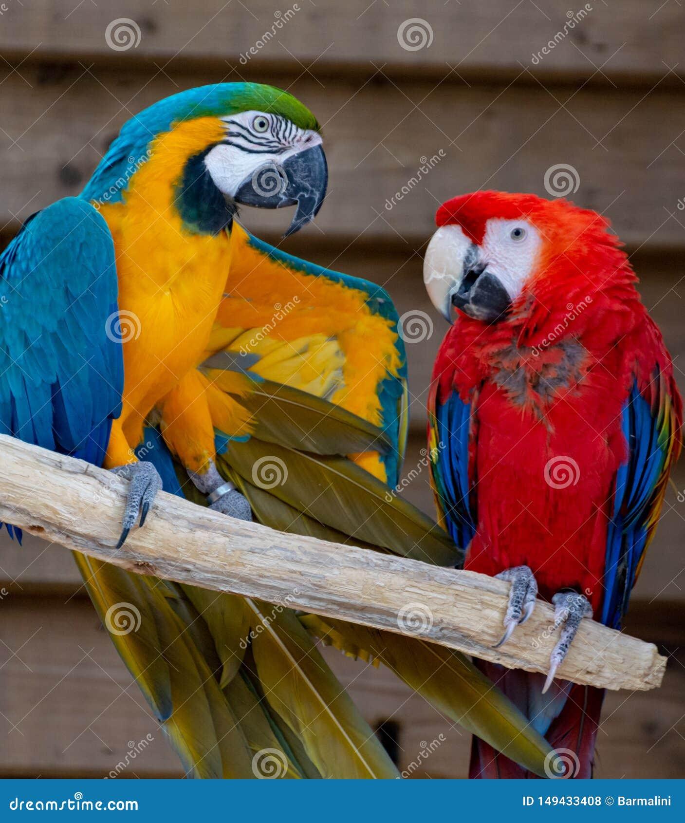 Ara scharlaken en blauw-en-gele papegaaien, kleurrijke exotische vogels met lange staart