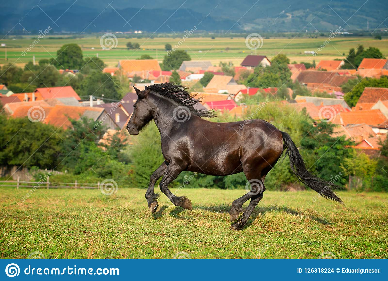 Arabian brown horse running at the farm in Romania