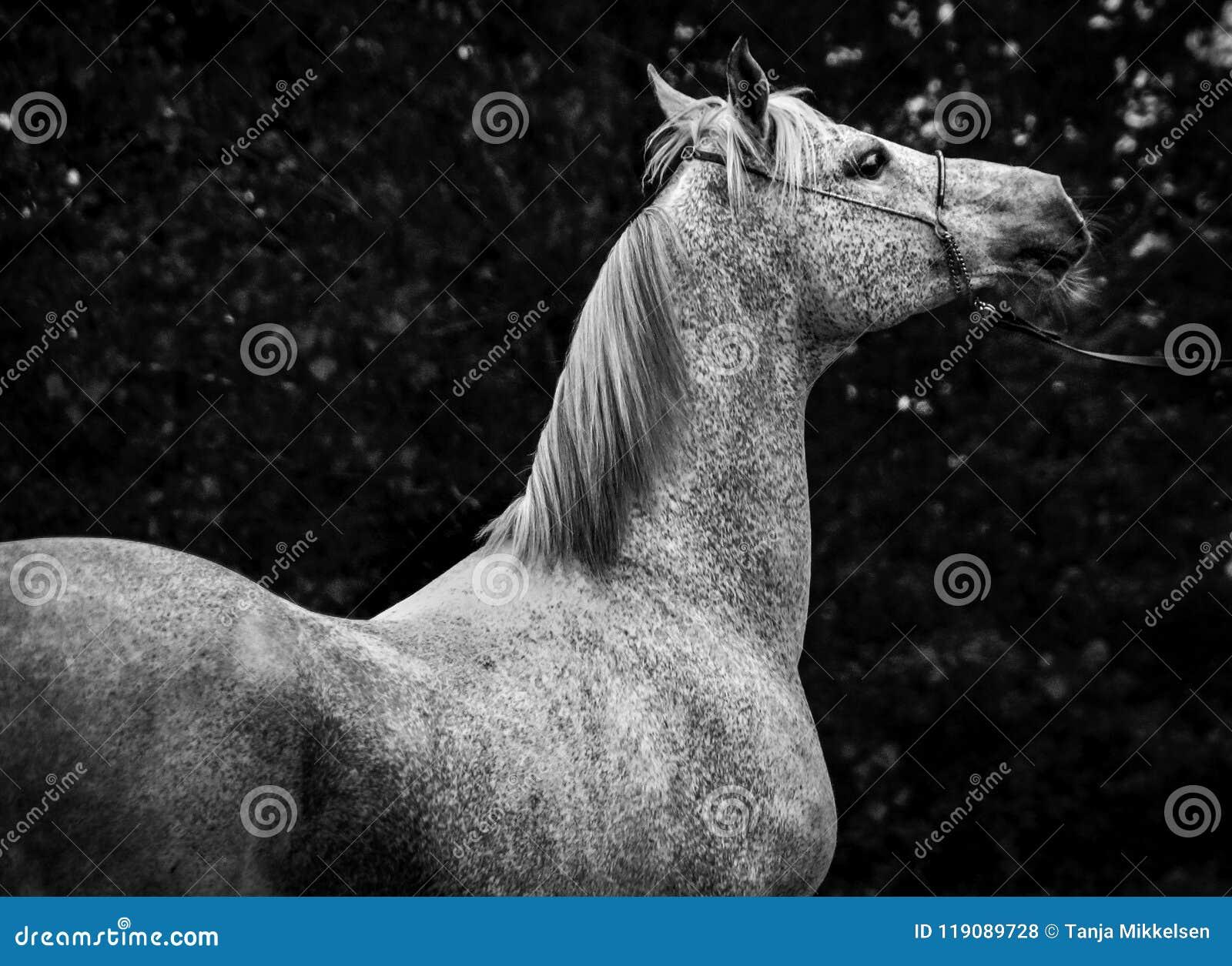 15 824 Arabian Horse Photos Free Royalty Free Stock Photos From Dreamstime