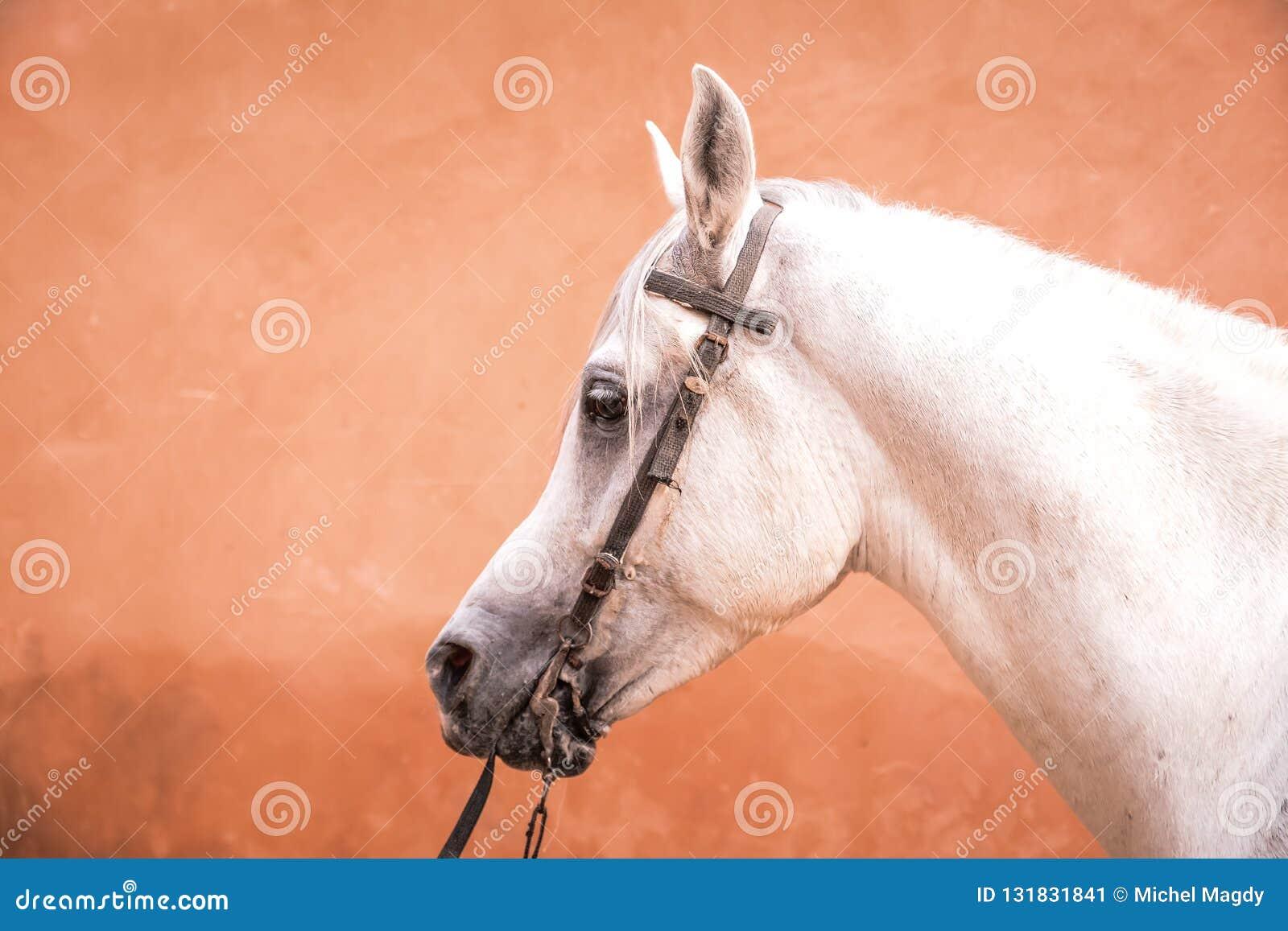 Arabian Horse Stock Image Image Of Arabic Bridle Animals 131831841