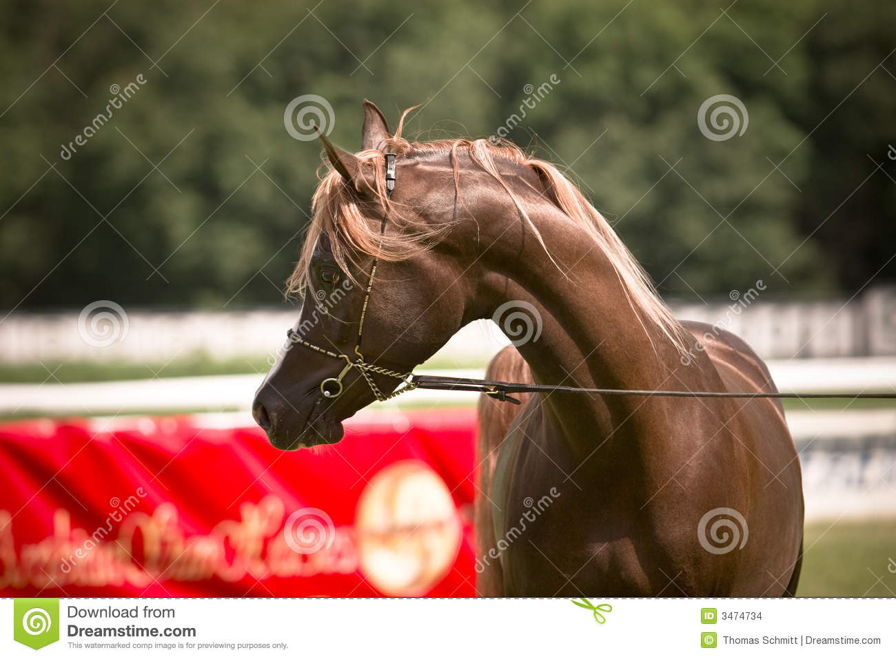 Arabian horse in bridle