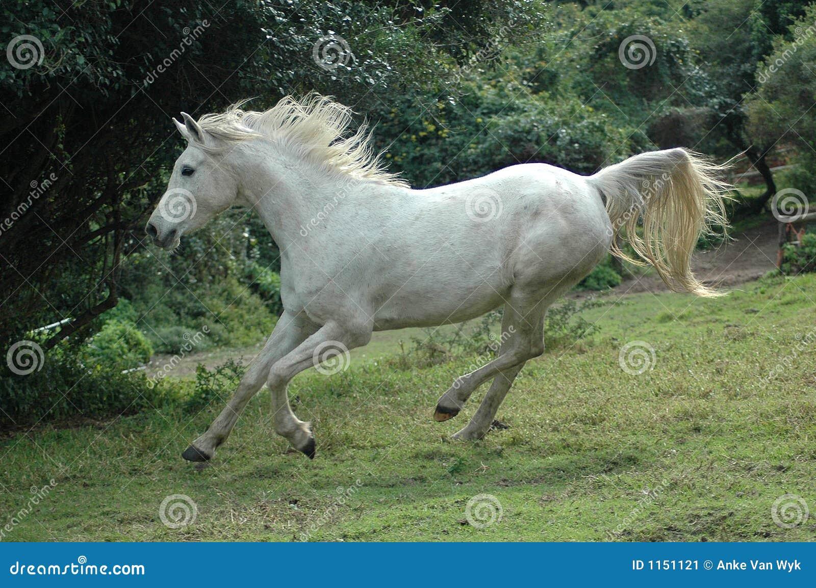 Arabian horse galloping