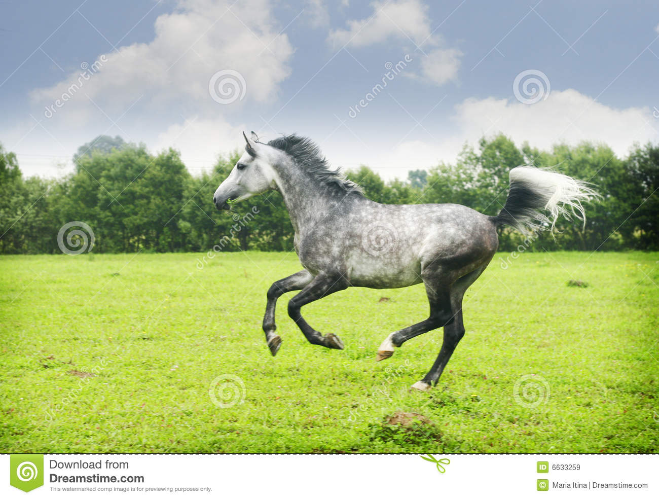 Arabian Horse Galloping Stock Image Image Of Head Horseback 6633259