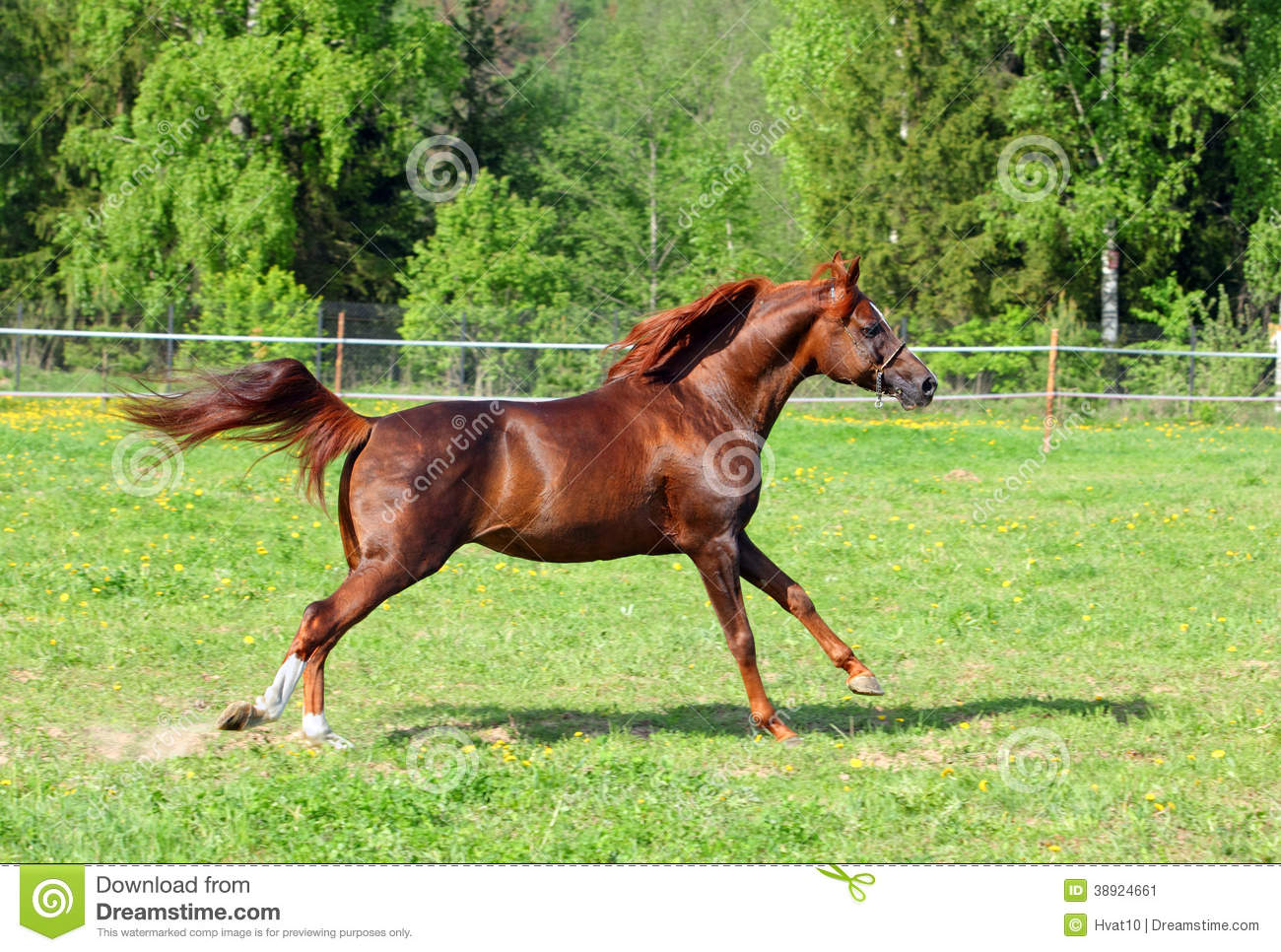 Arabian Horse Galloping In The Field Stock Image Image Of Pets Animal 38924661