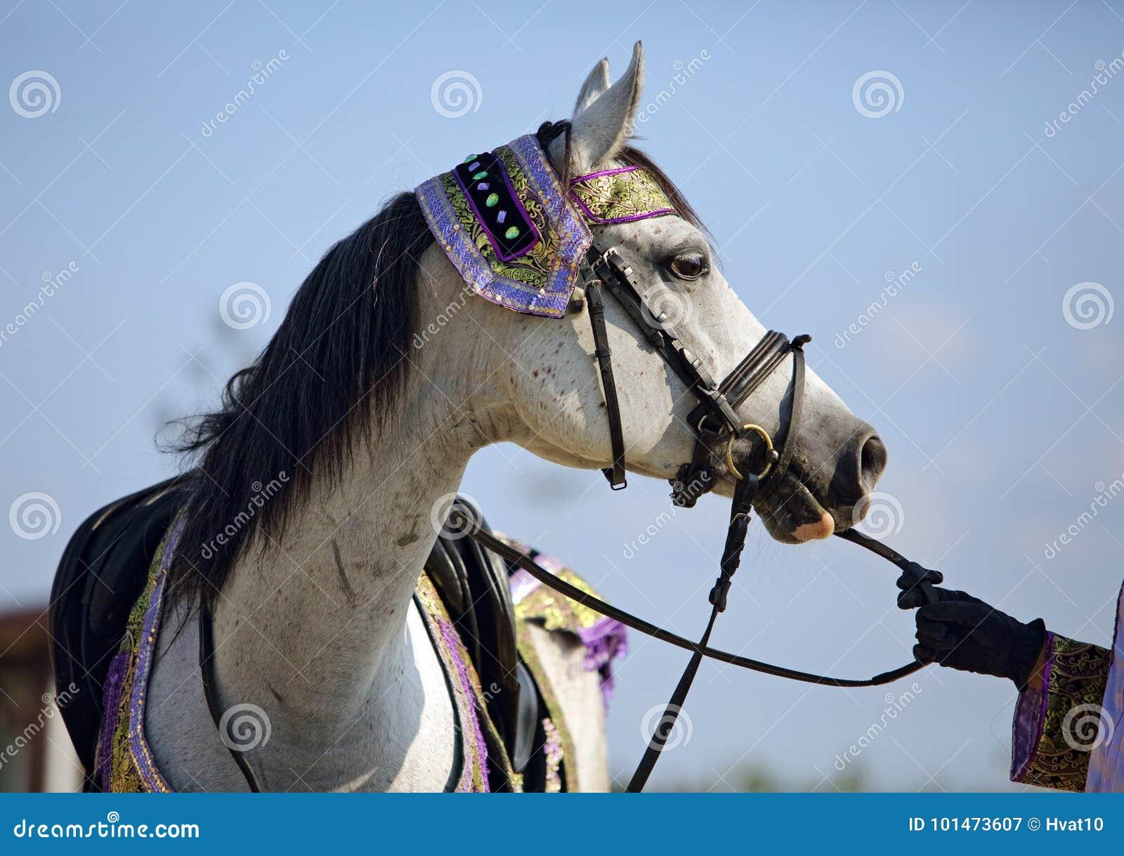 Grey Arabian Horse With Traditional Tack And Saddle Stock Image Image Of Grey Luxury 101473607