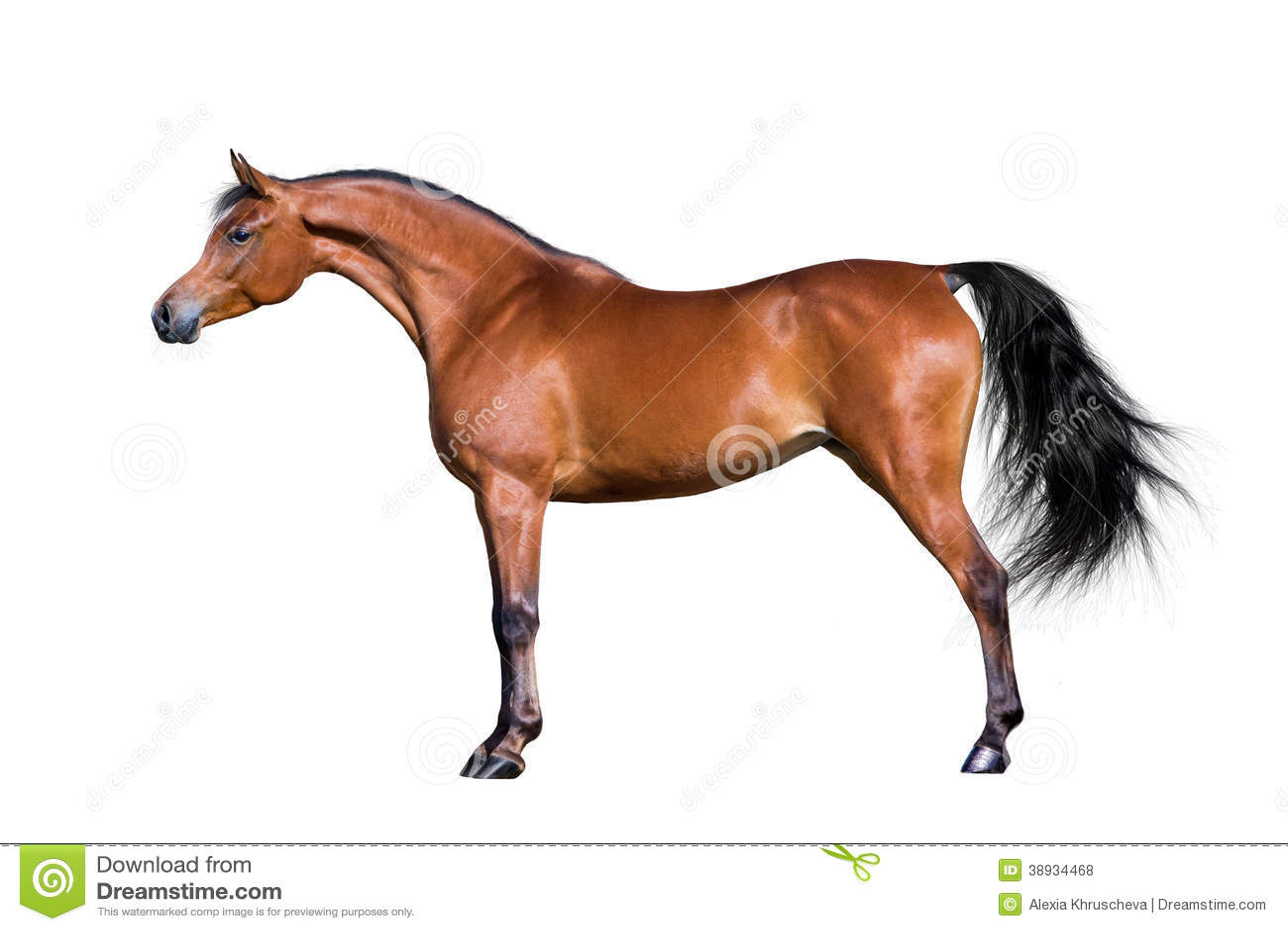 Arabian Horse Isolated On White Stock Photo Image Of Freedom
