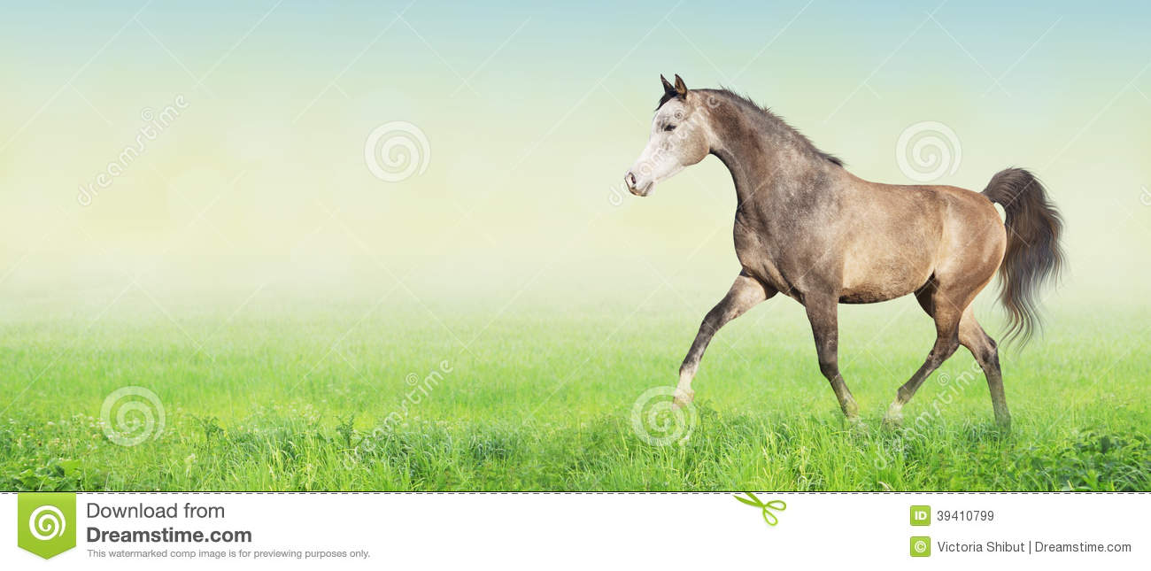 Arabian horse running trot on meadow,banner