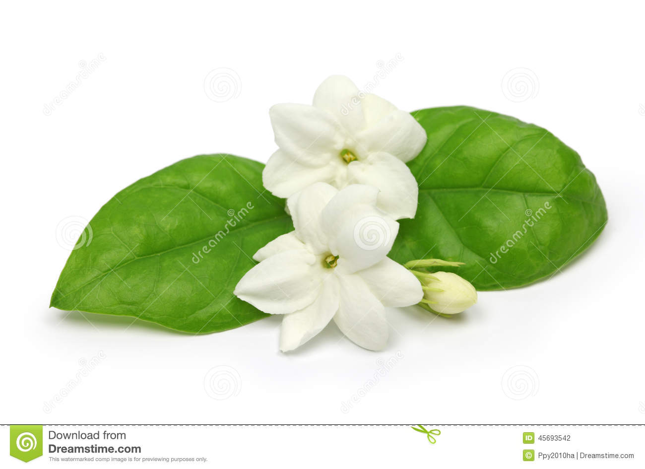 Arabian Jasmine Jasmine Tea Flower Stock Photo Image Of National