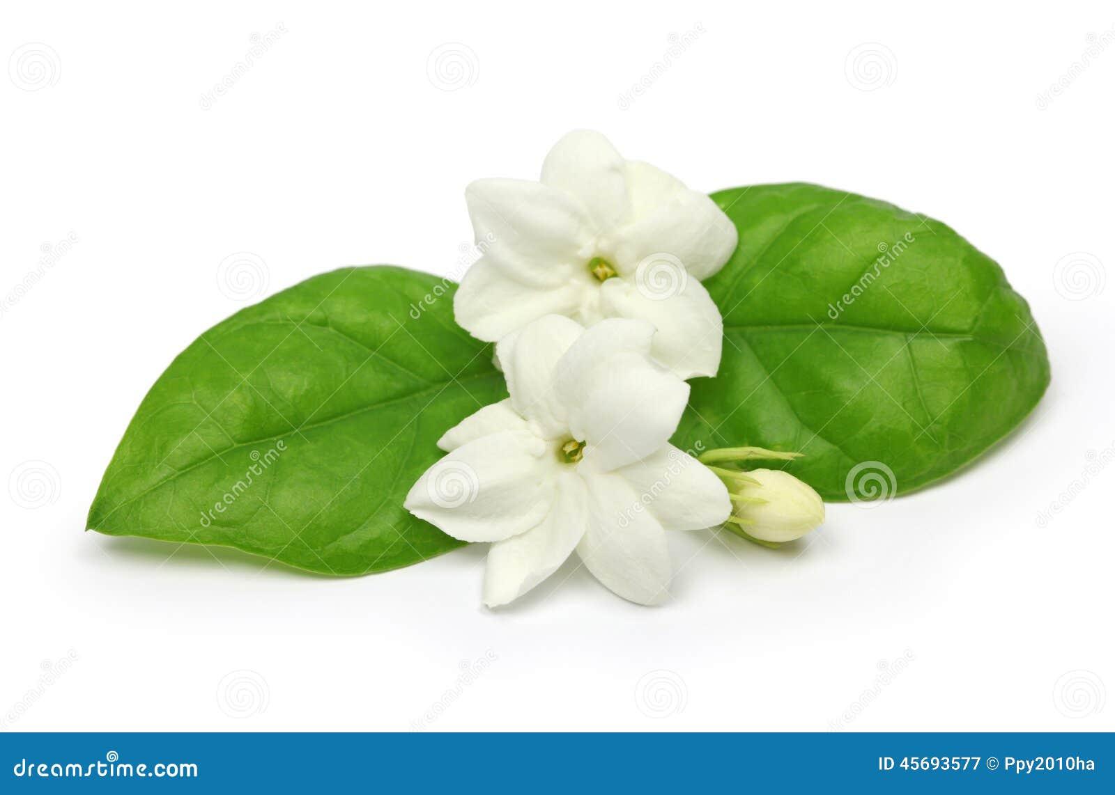 arabian jasmine jasmine tea flower stock image image 45693577. Black Bedroom Furniture Sets. Home Design Ideas
