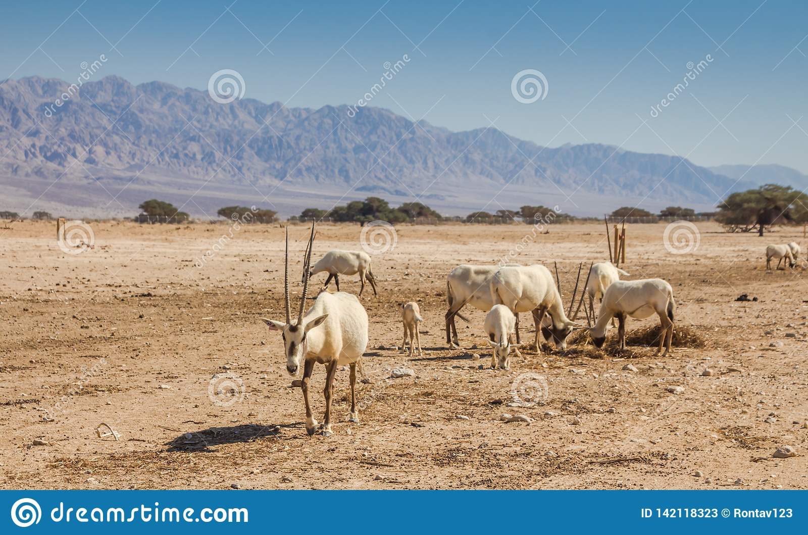 Arabian Oryx Oryx leucoryx a genus of Antelope species, an endangered animal in the `Hay-Bar` Yotvata Nature Reserve Israel