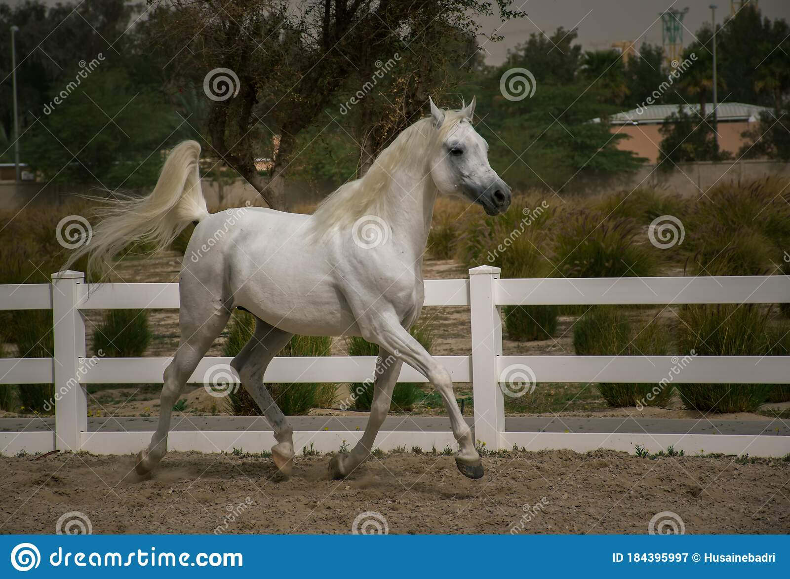Arabian White Stallion Running In Horse Training Stock Image Image Of Allure Freedom 184395997