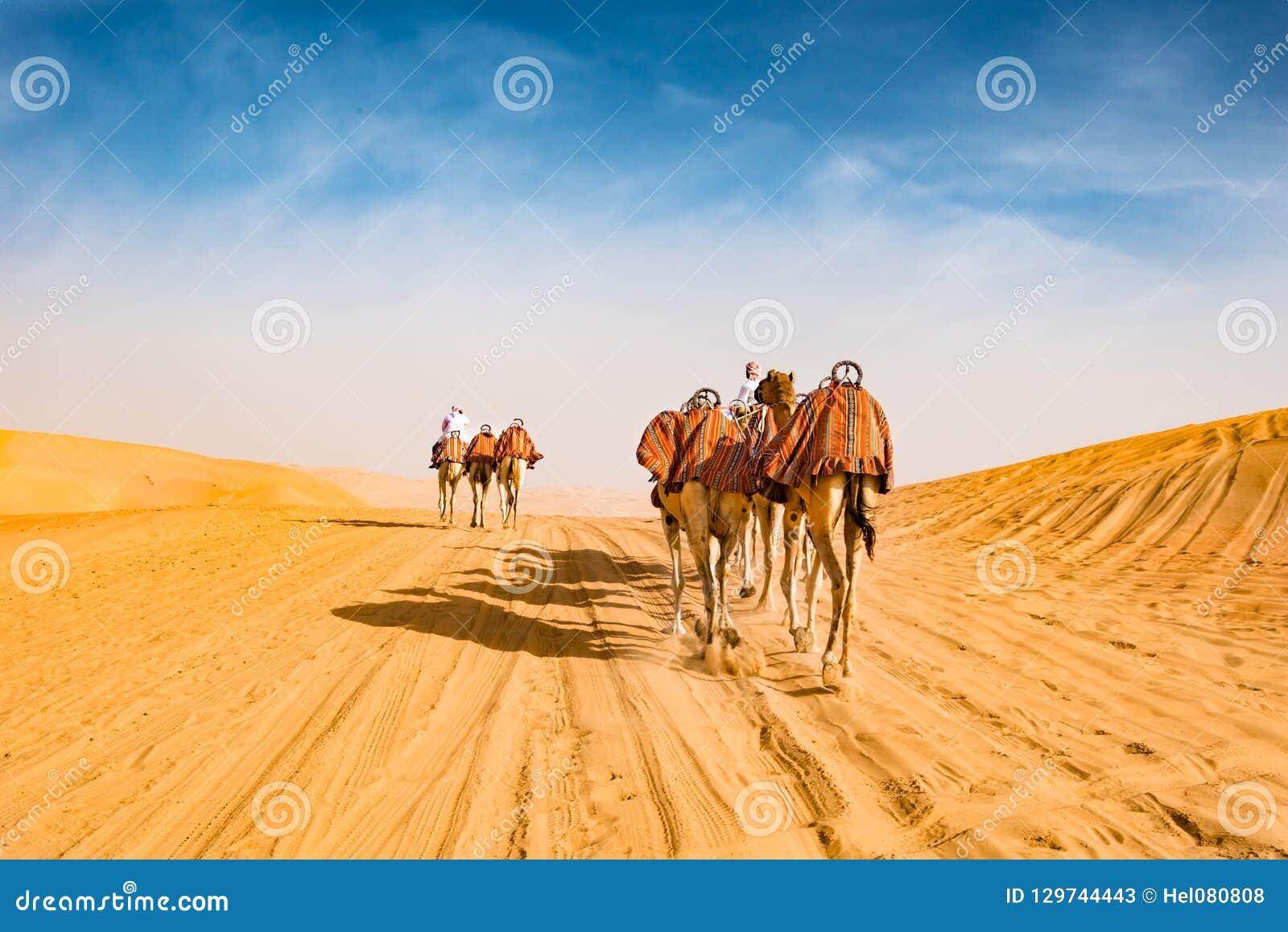 Arabic camels in desert of Abu Dhabi, U.A.E.,