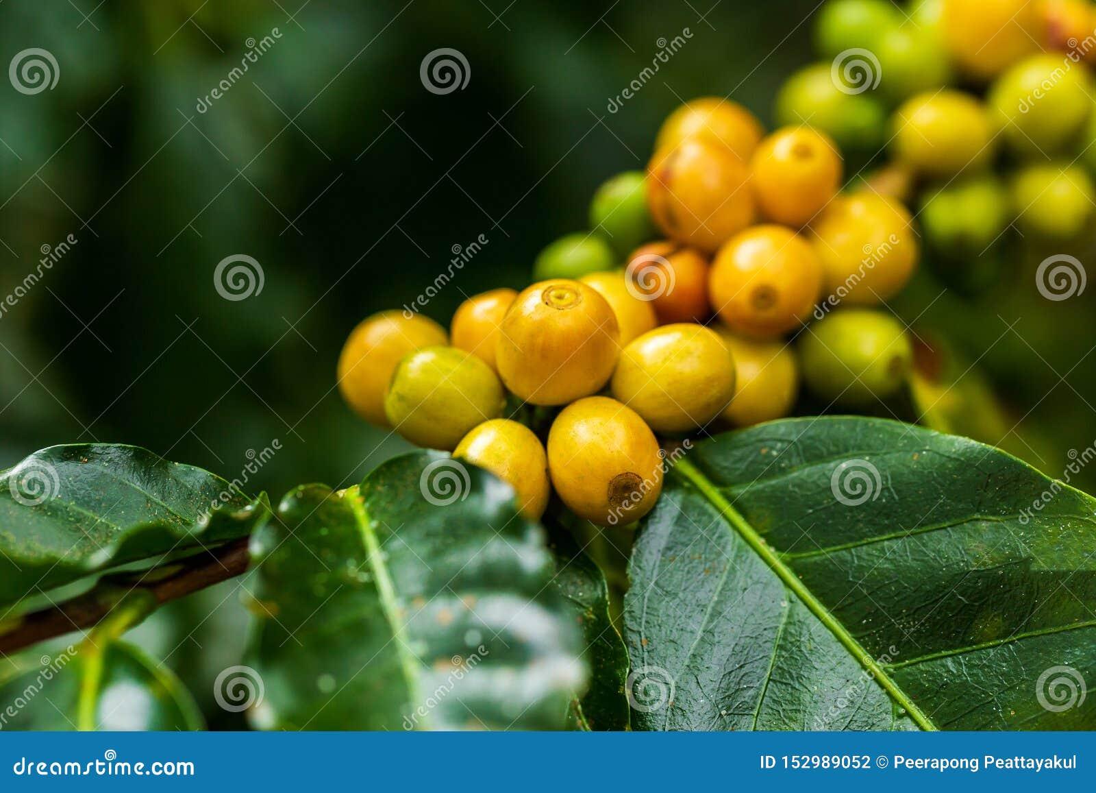 ArabicaKaffeebohnen färben gelbes CatiMor, das auf Baum reift