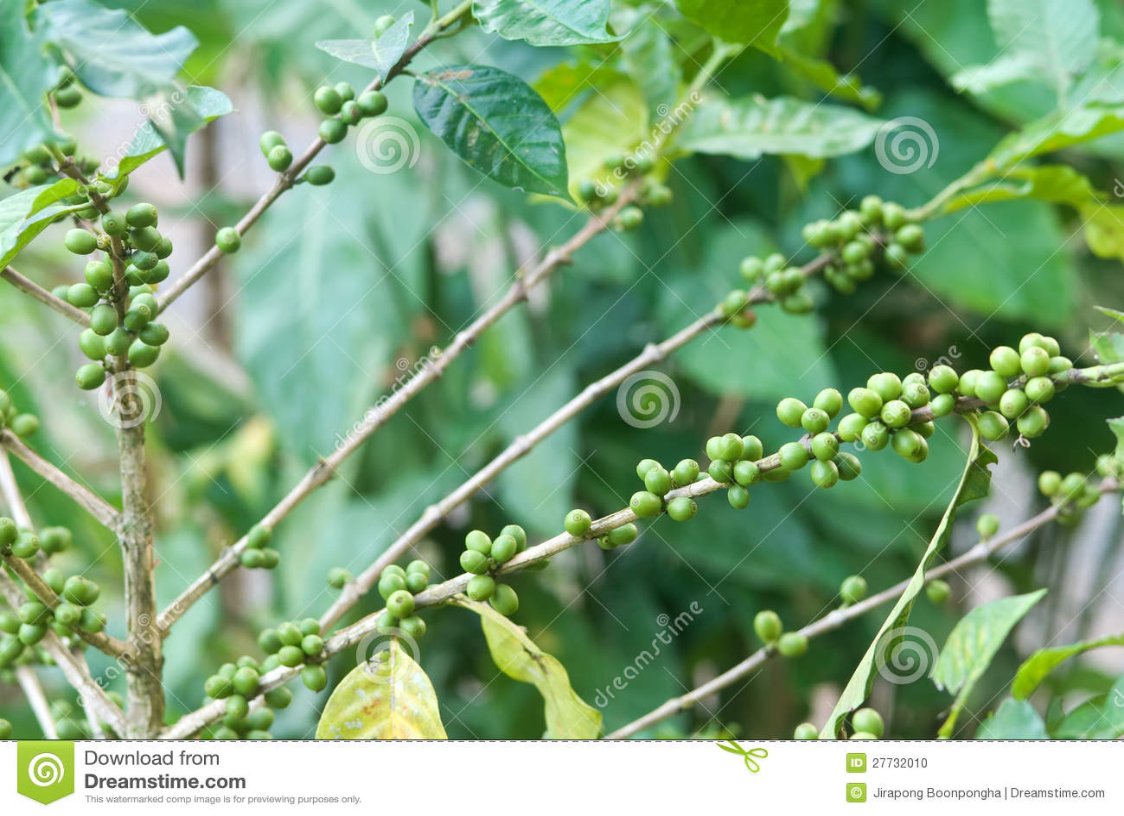 Arabicakaffeeplantage in Thailand