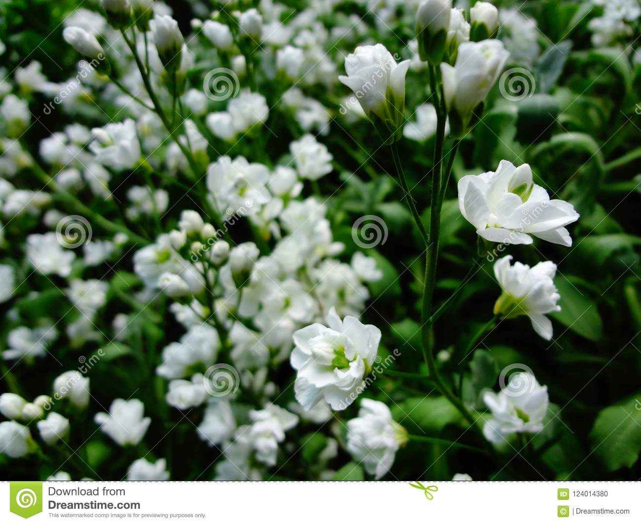 Arabis Blossoming With Beautiful White Flowers Stock Photo Image