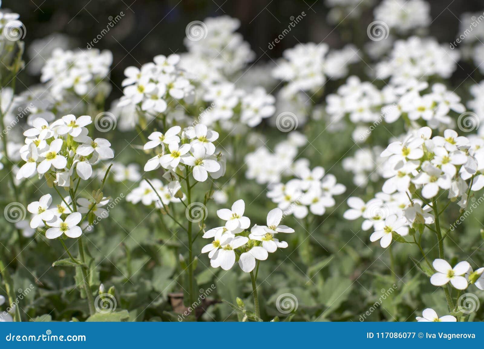 Arabis Caucasica Ornamental Garden White Flowers Mountain Rock