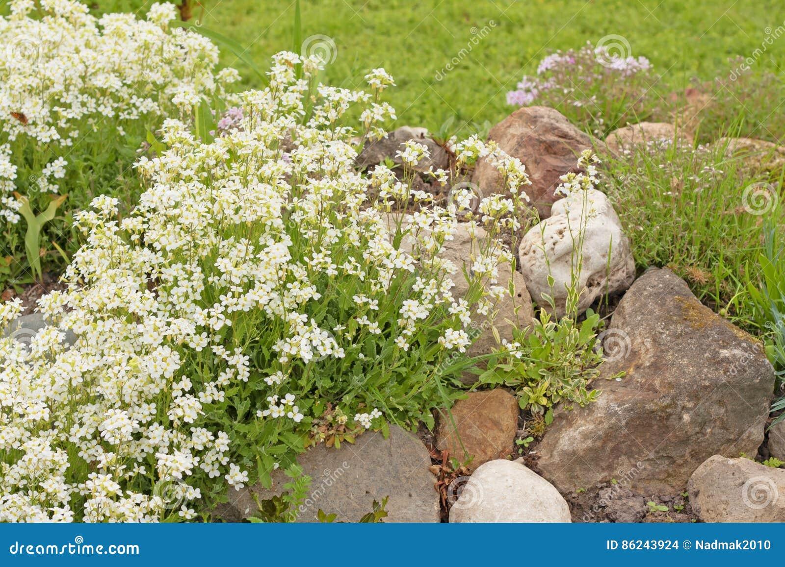 Fiori Da Giardino Roccioso arabis o rockcress dei fiori bianchi su una collina rocciosa