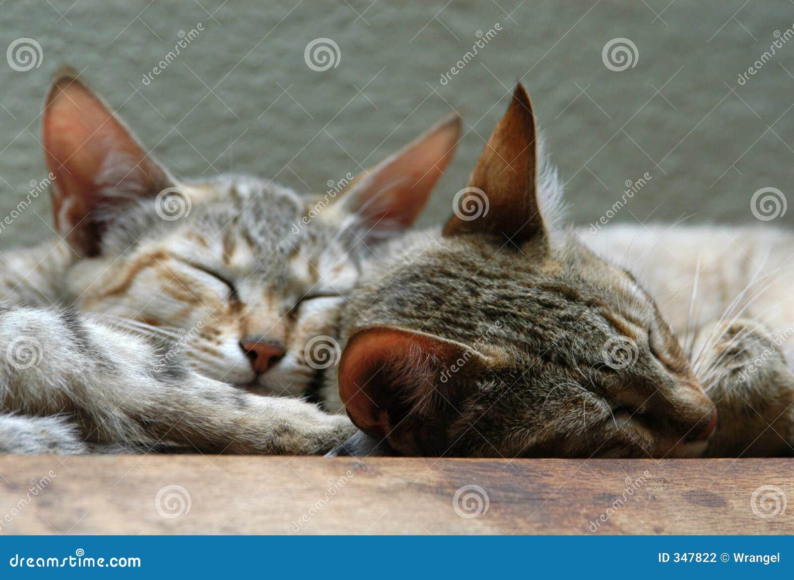 Arabische Wilde Katten