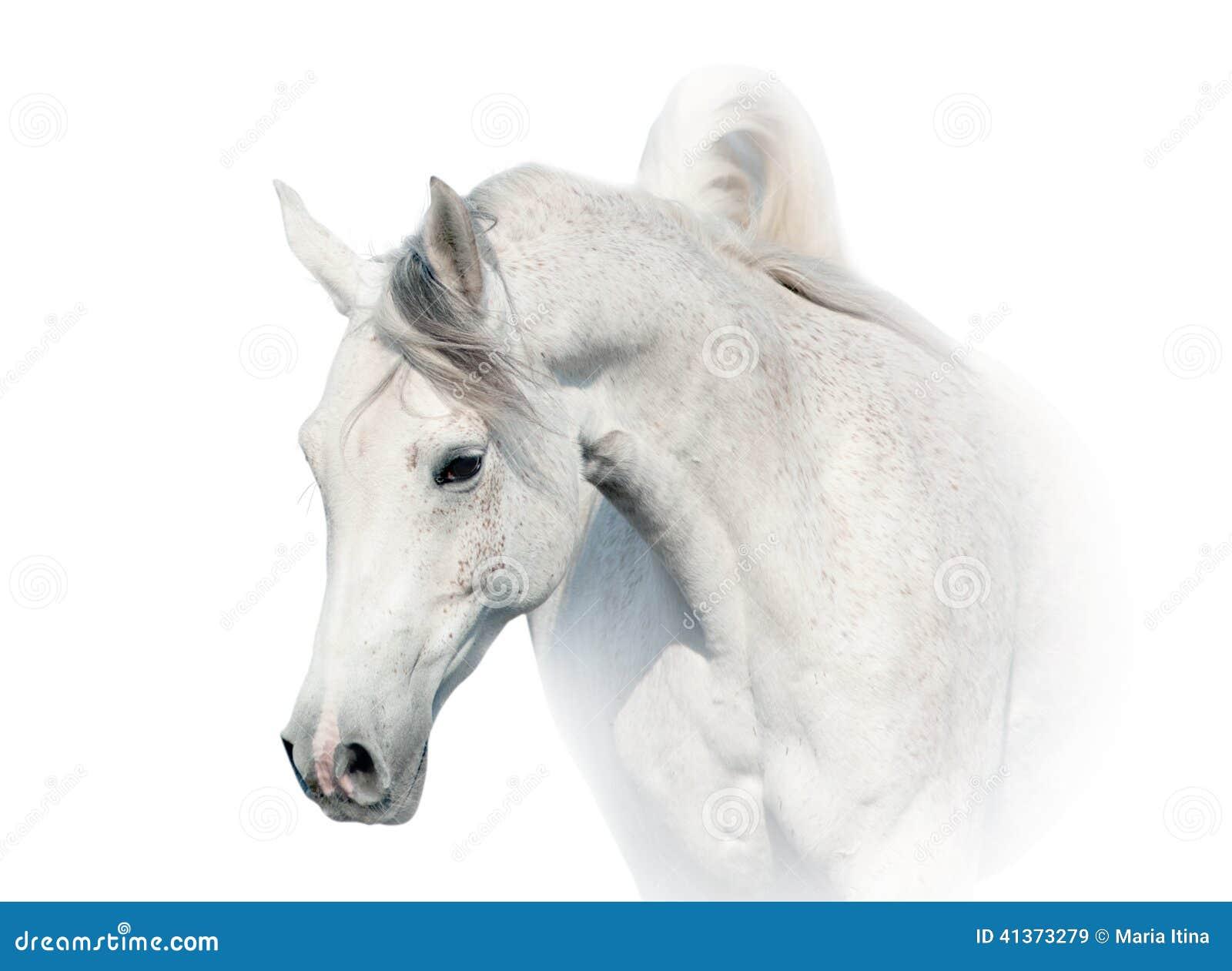 Arabisk hästwhite